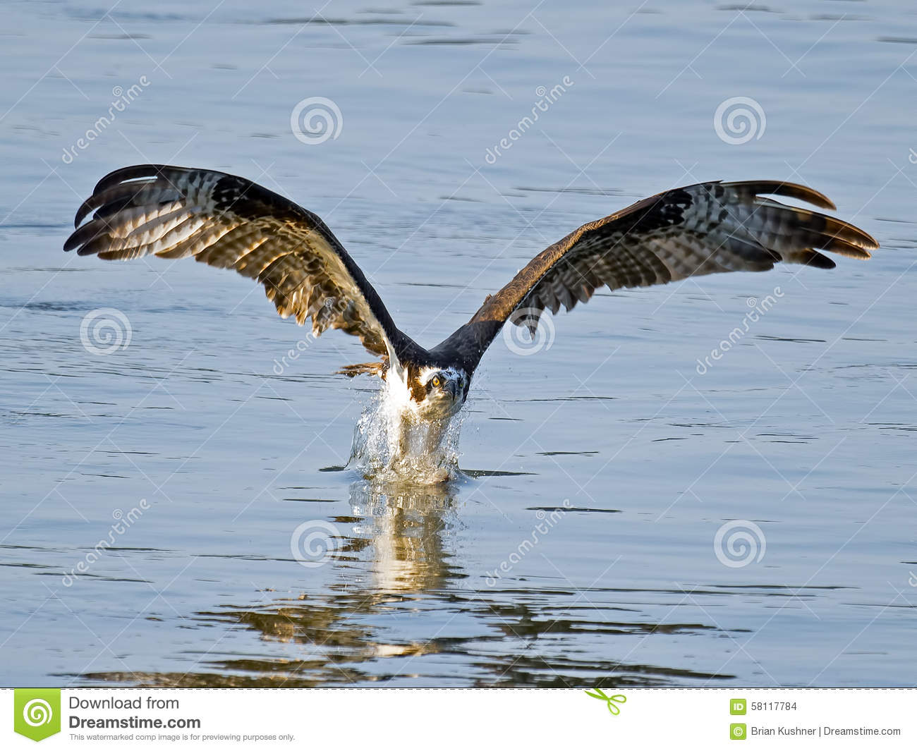 Osprey fish grab stock photo image 58117784 for Idaho out of state fishing license