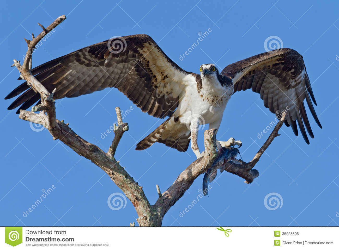 Osprey with fish pandion haliatus royalty free stock for Fish and wings