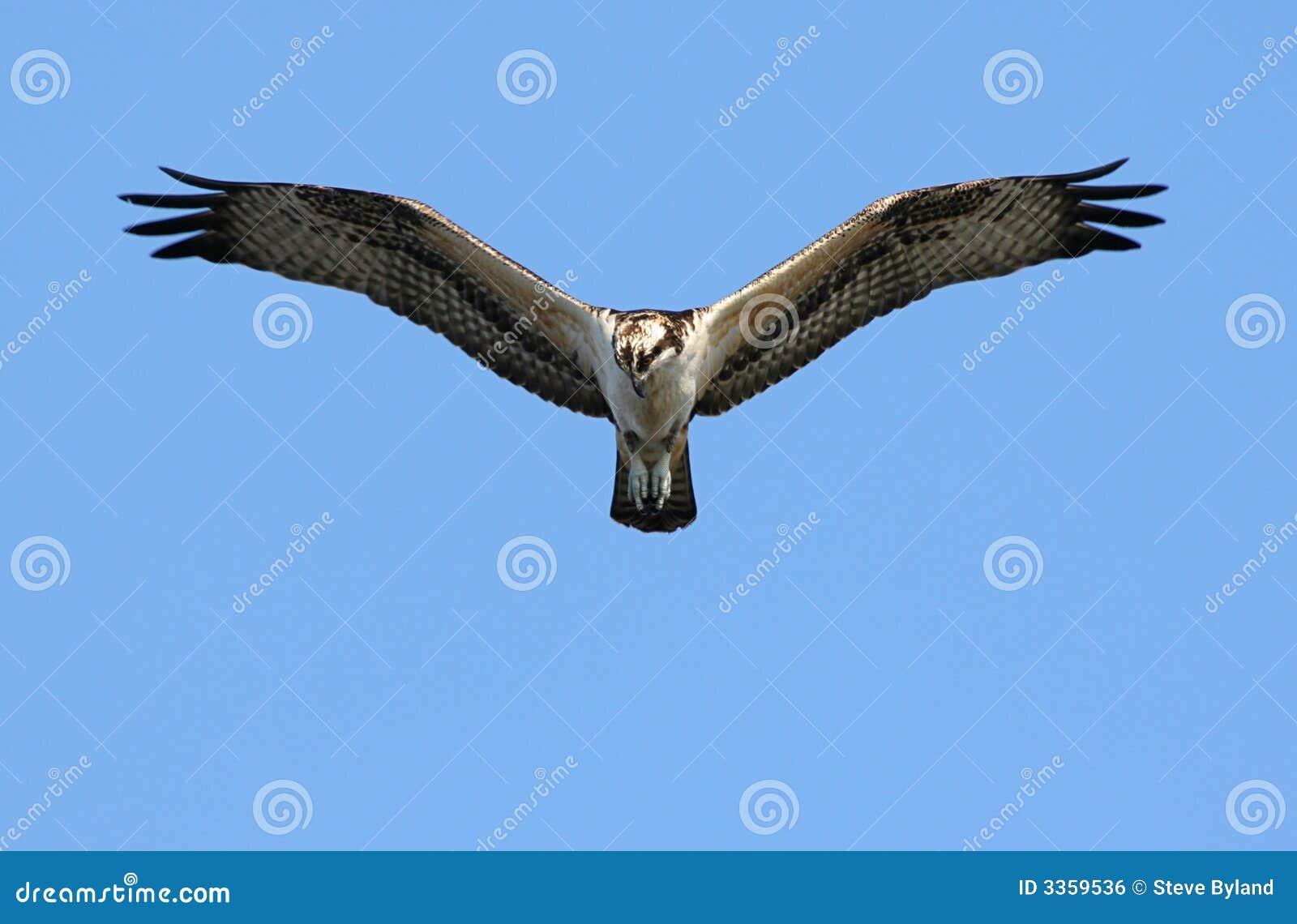 Osprey Hawk Landing Ve...