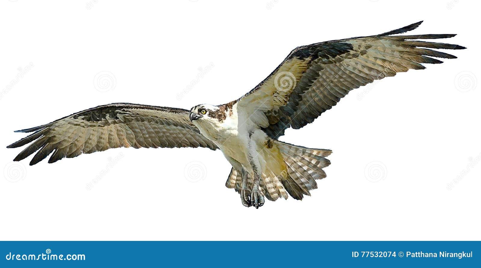 Osprey Hawk Landing Vector. Cartoon Vector | CartoonDealer ... Flying Hawk Cartoon
