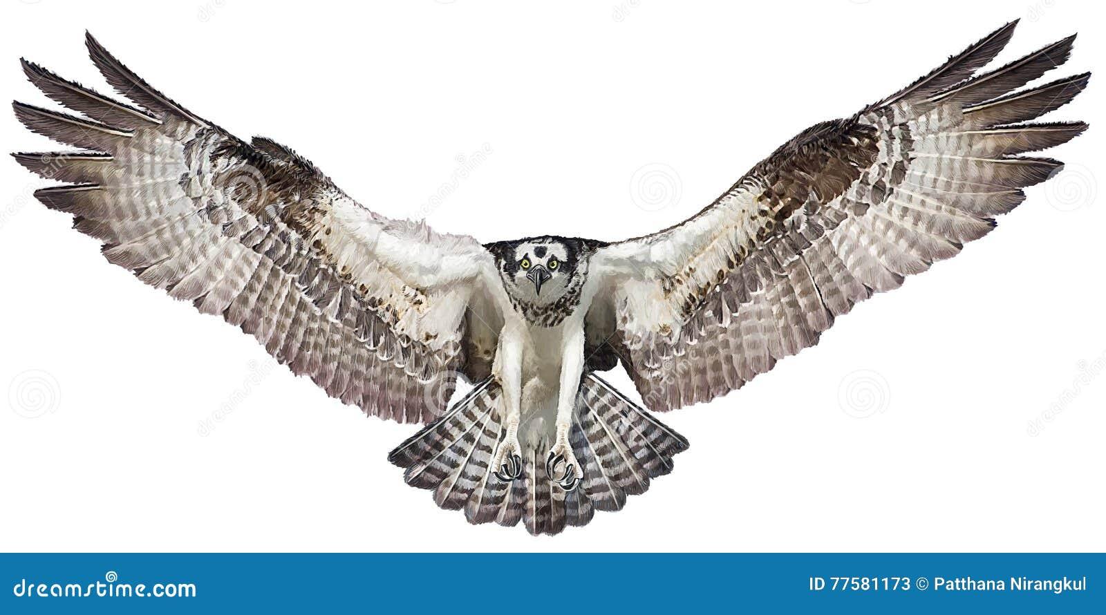 Osprey Hawk Landing Vector. Stock Vector - Illustration of ...