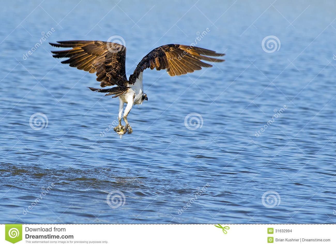 Osprey stock images image 31632994 for Dream about fish out of water