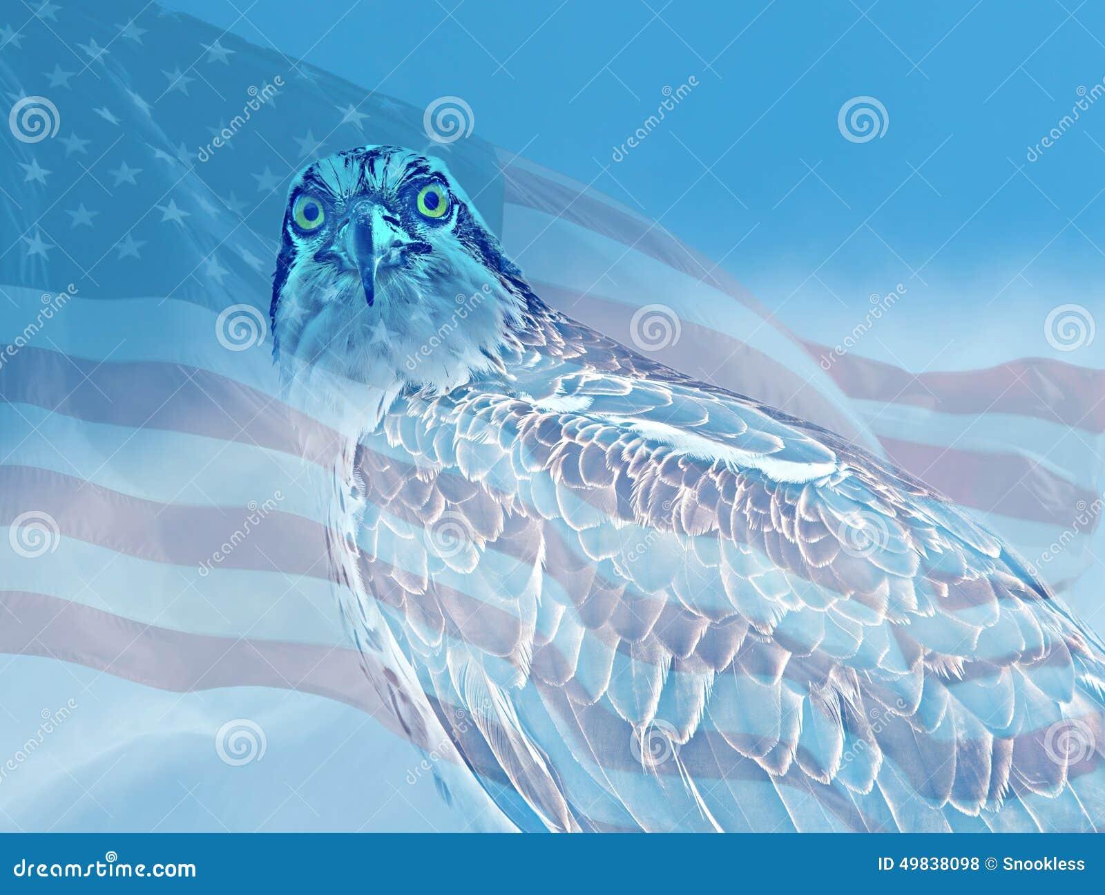 Osprey que mira fijamente con la bandera