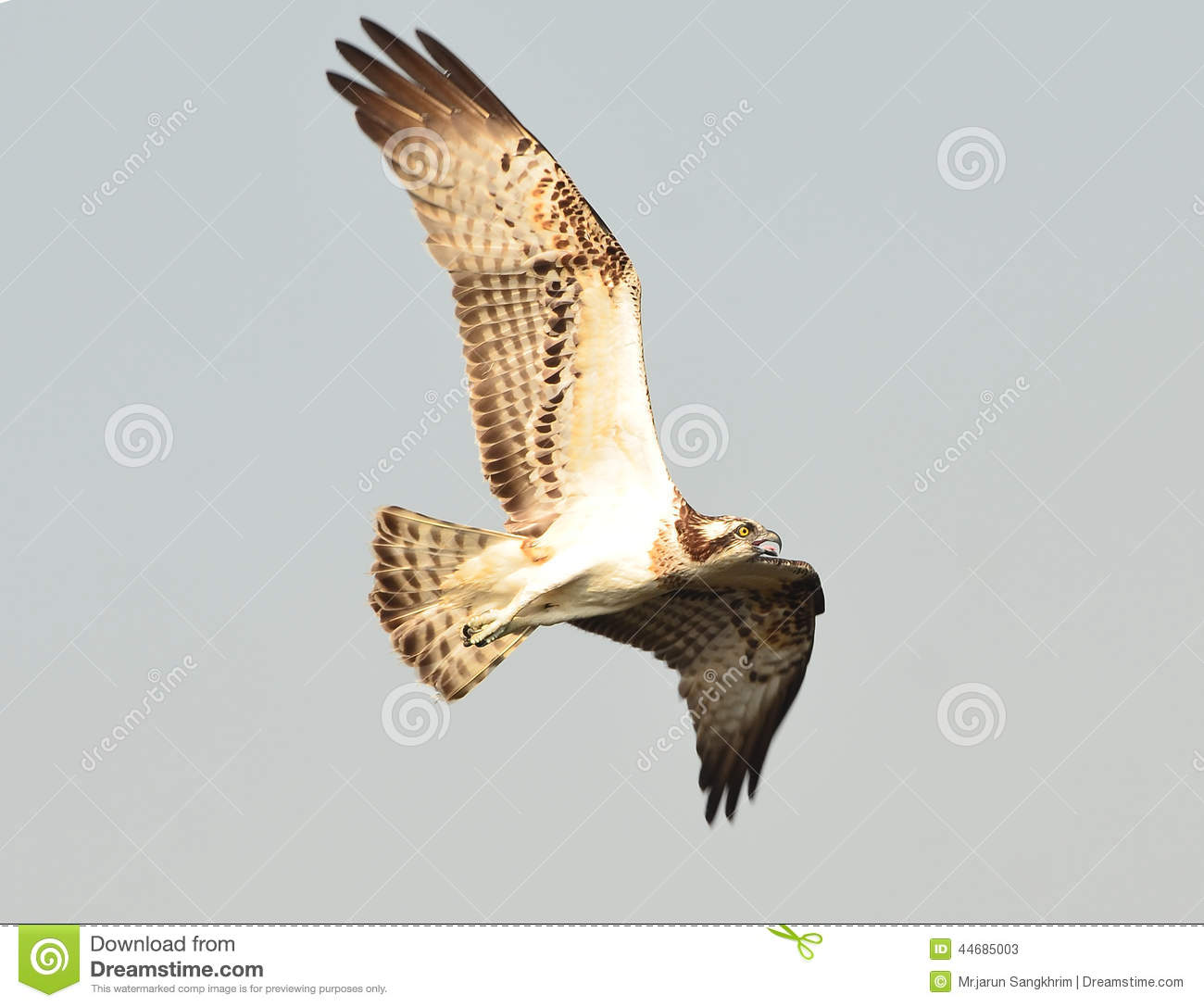 Osprey sea hawk fish eagle stock image image 44685003 for Fish hawk bird