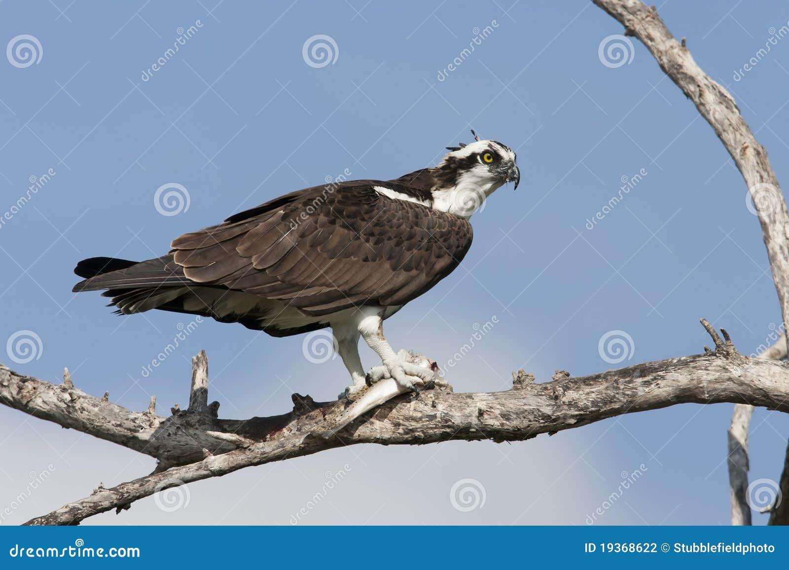 Osprey, subspecies americano