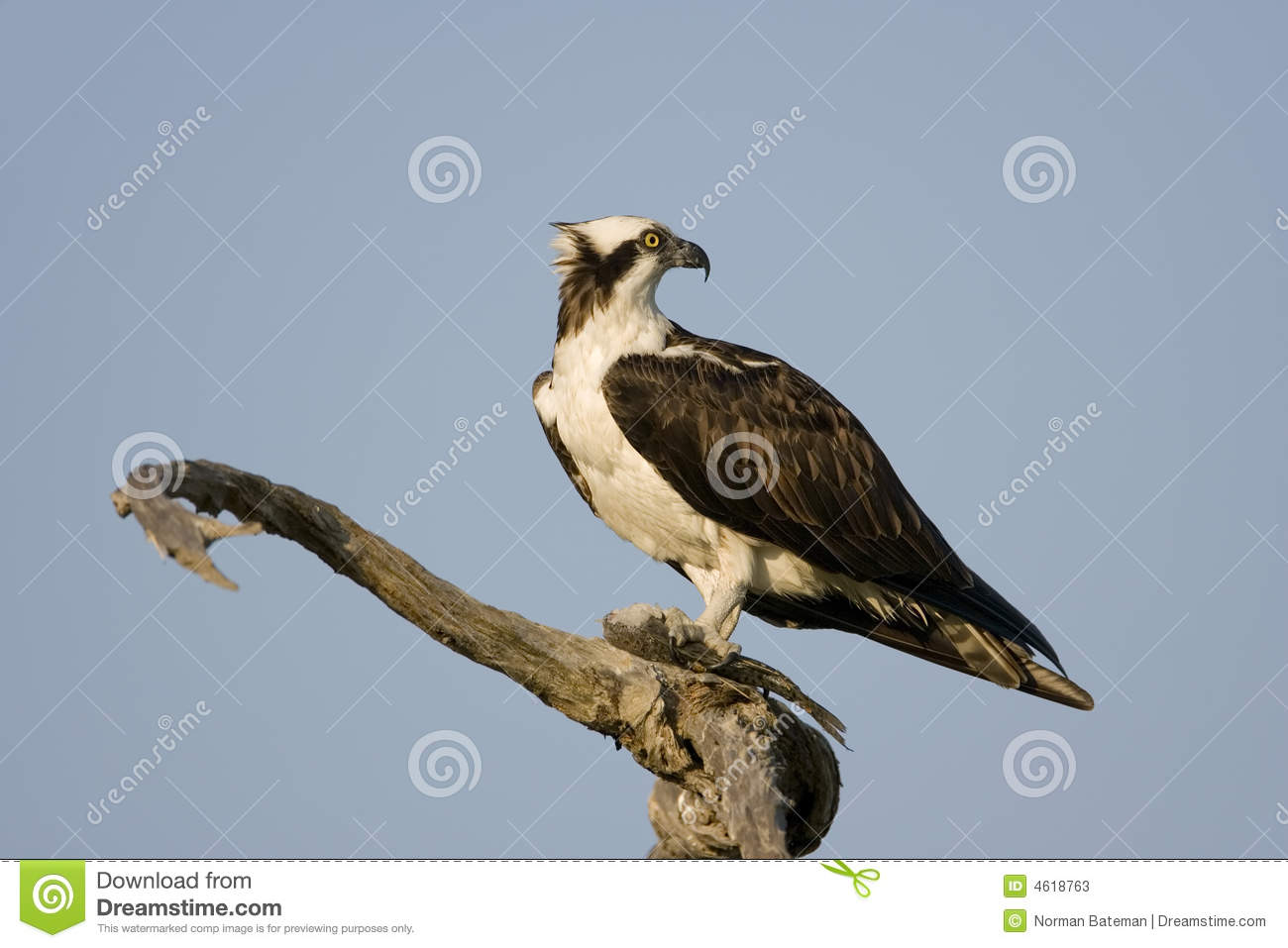 An Osprey in a tree eating a fish