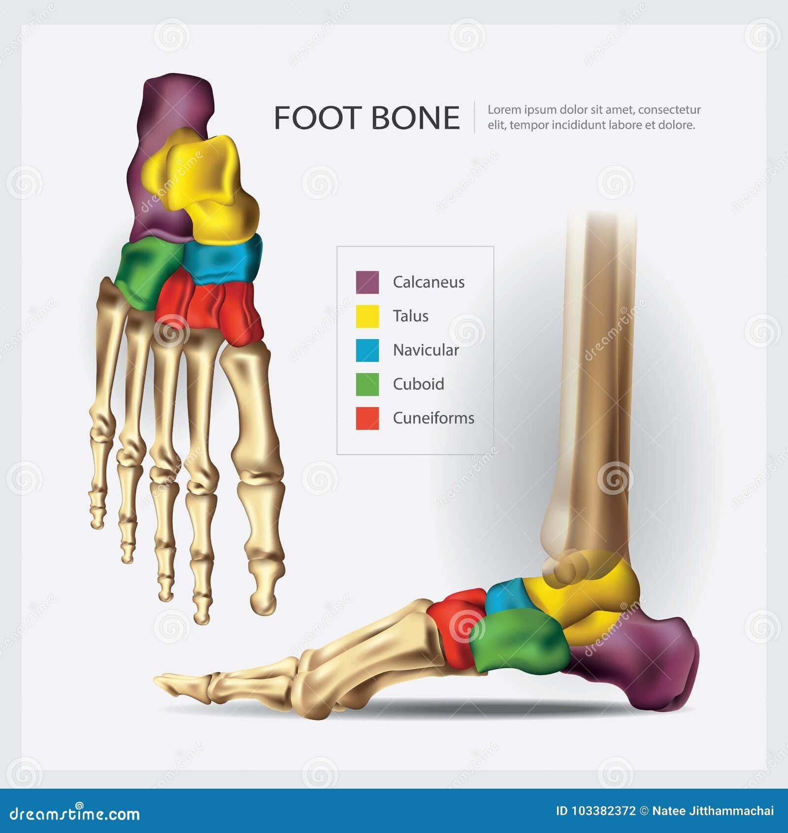 Osso de pé humano da anatomia