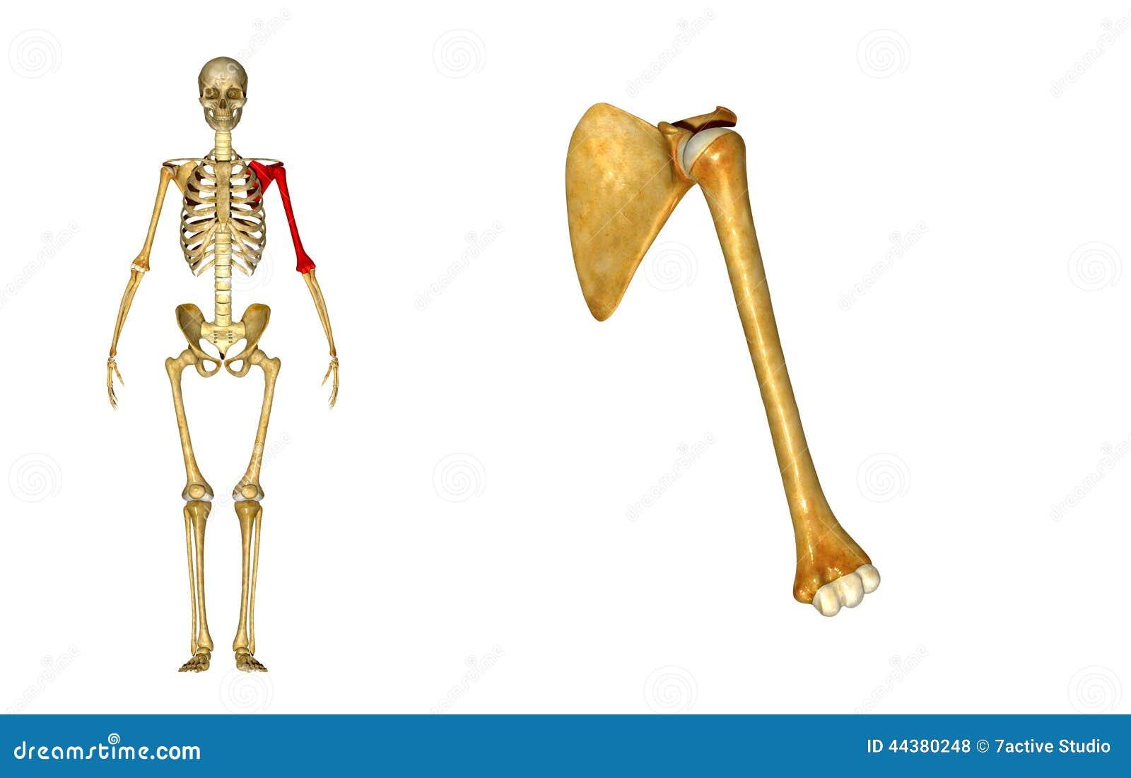 328129522825019530 also 08 also Pelvic Muscles Diagram moreover Human Skeleton Unlabeled Worksheet besides Humerus. on bone labeling exercises