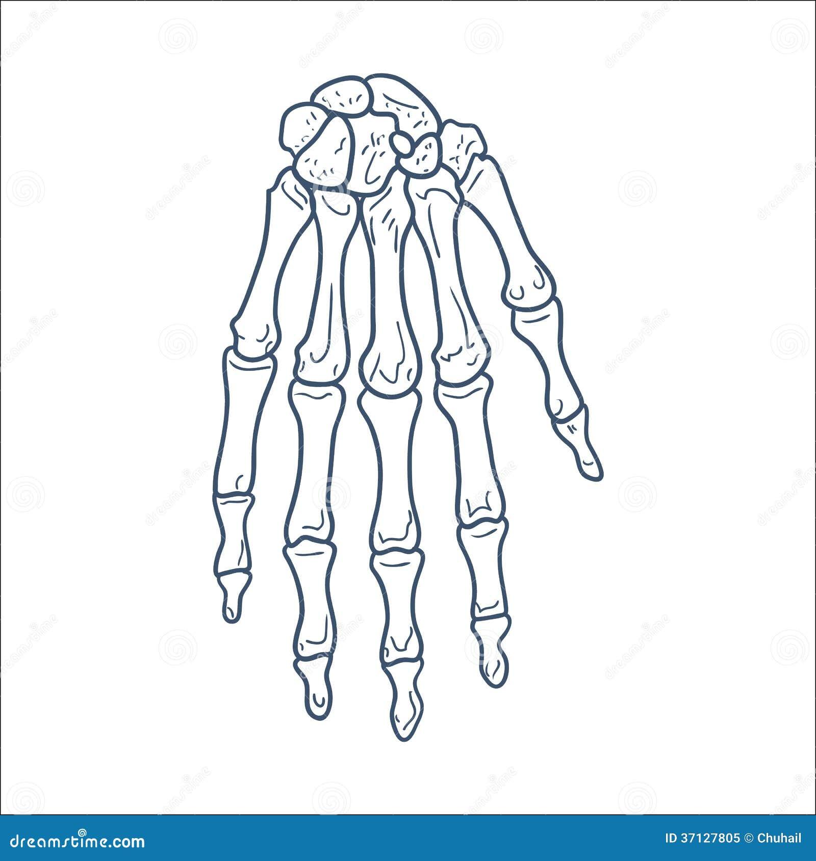 Ossos Da Mao Parte De Esqueleto Isolada No Branco Ilustracao Do