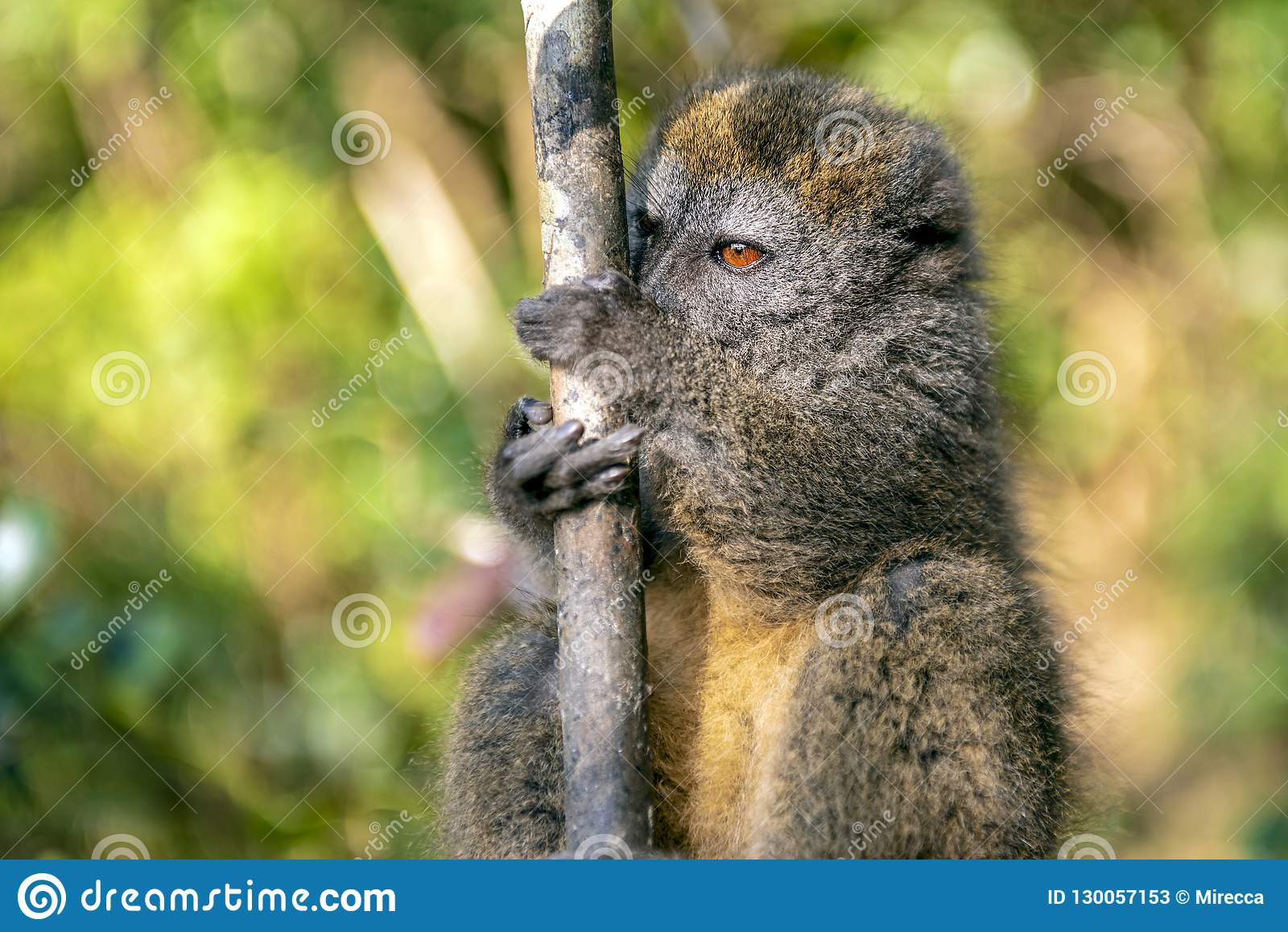 Ost-Lesser Bamboo Lemur Hapalemur-griseus in Madagaskar
