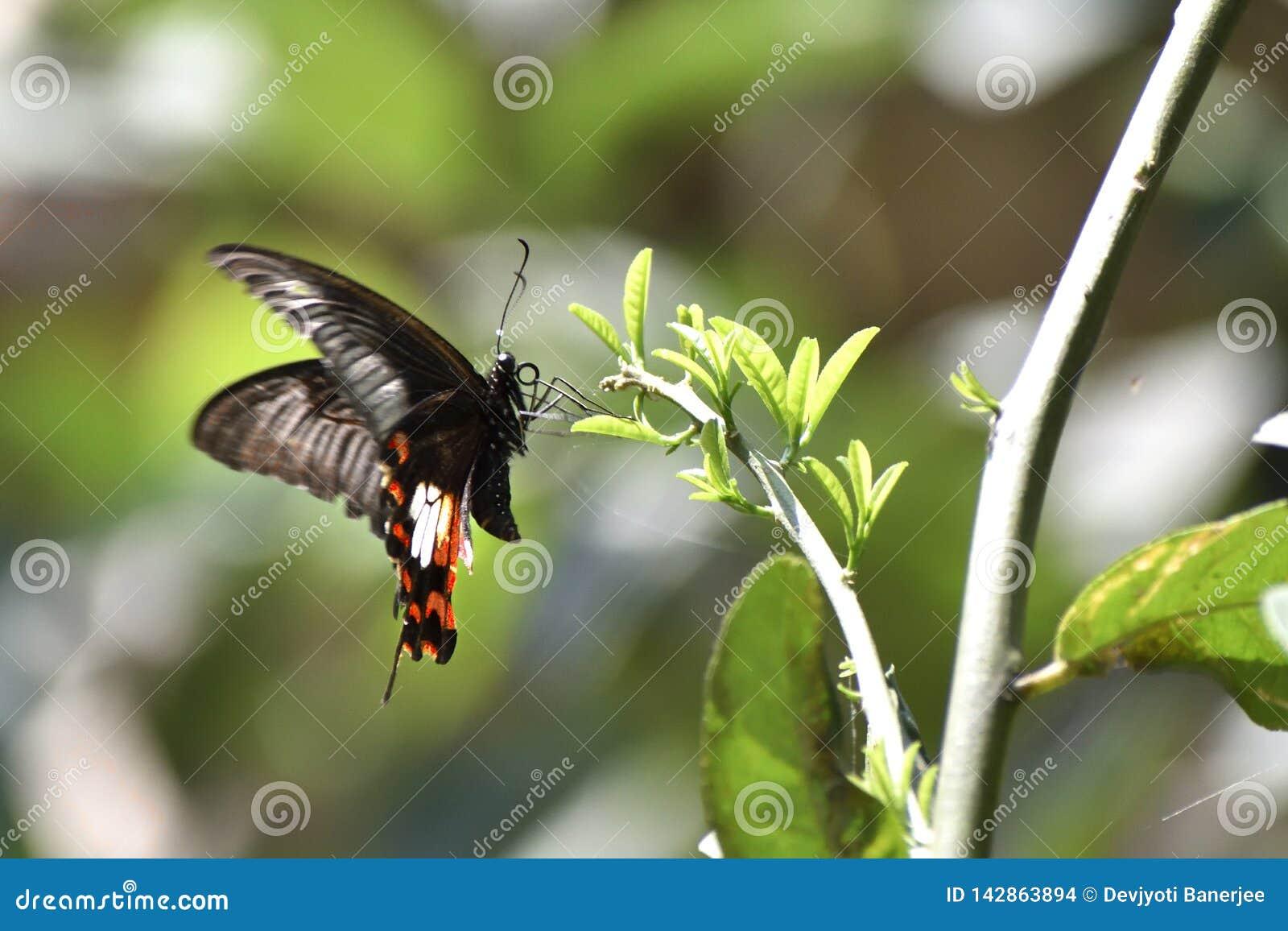 Ost-Tiger Swallowtail Butterflies, schwarze Schmetterlinge, Swallowtail-Schmetterlinge