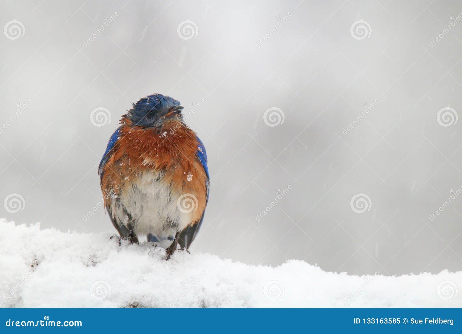 Ostdrossel in einem Sturm des verschneiten Winters