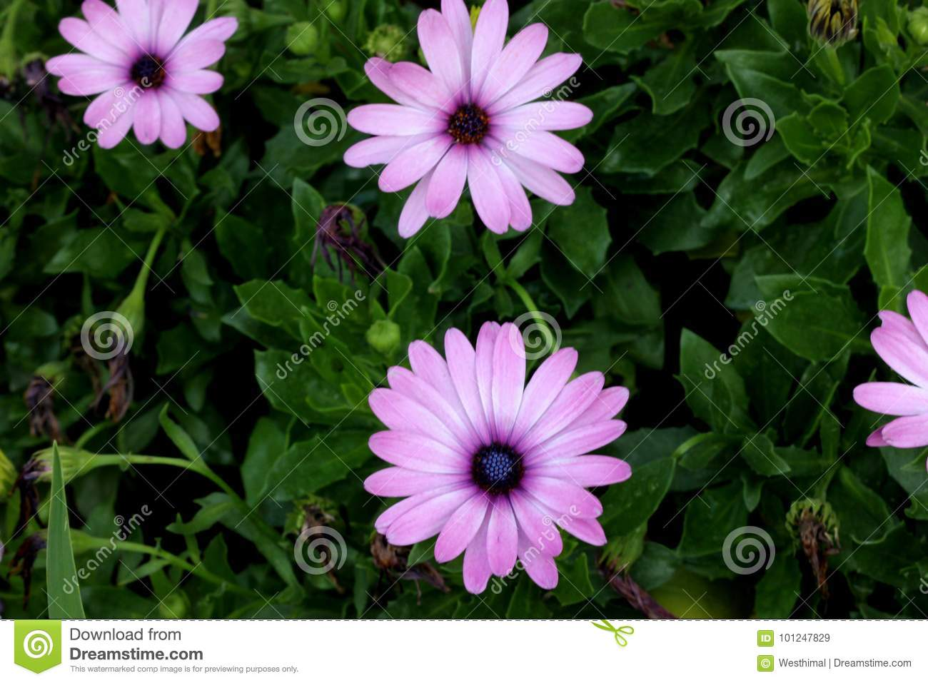 Osteospermum ecklonis african daisy stock image image of stunning osteospermum ecklonis african daisy subshrub with rigid pointed leaves and stunning pale pink daisy like flowers with purplish black disc suitable for izmirmasajfo
