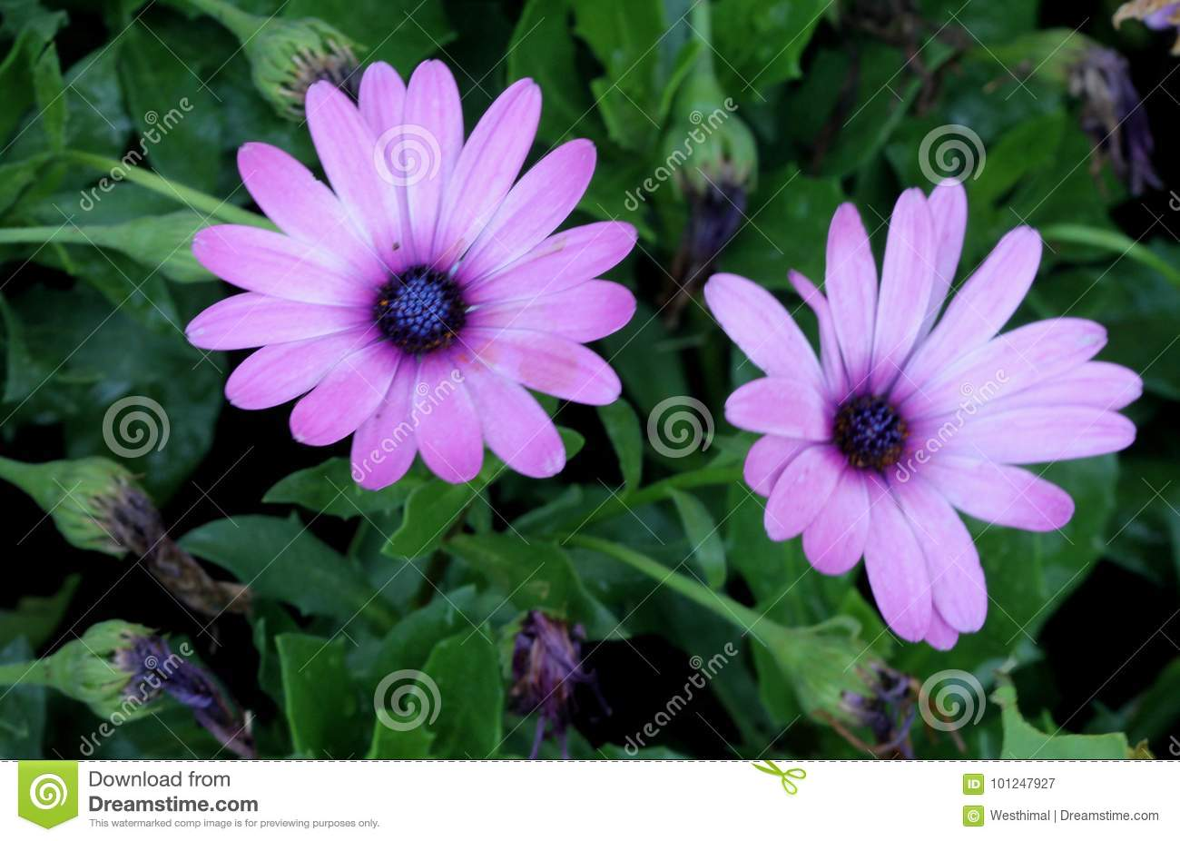 Osteospermum ecklonis african daisy stock image image of like osteospermum ecklonis african daisy subshrub with rigid pointed leaves and stunning pale pink daisy like flowers with purplish black disc suitable for izmirmasajfo