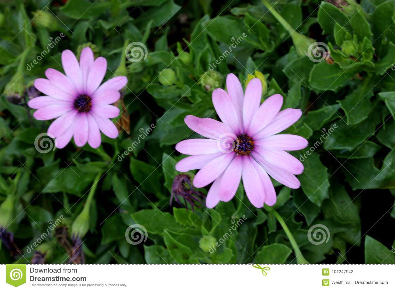 Osteospermum Ecklonis African Daisy Stock Photo Image Of Black