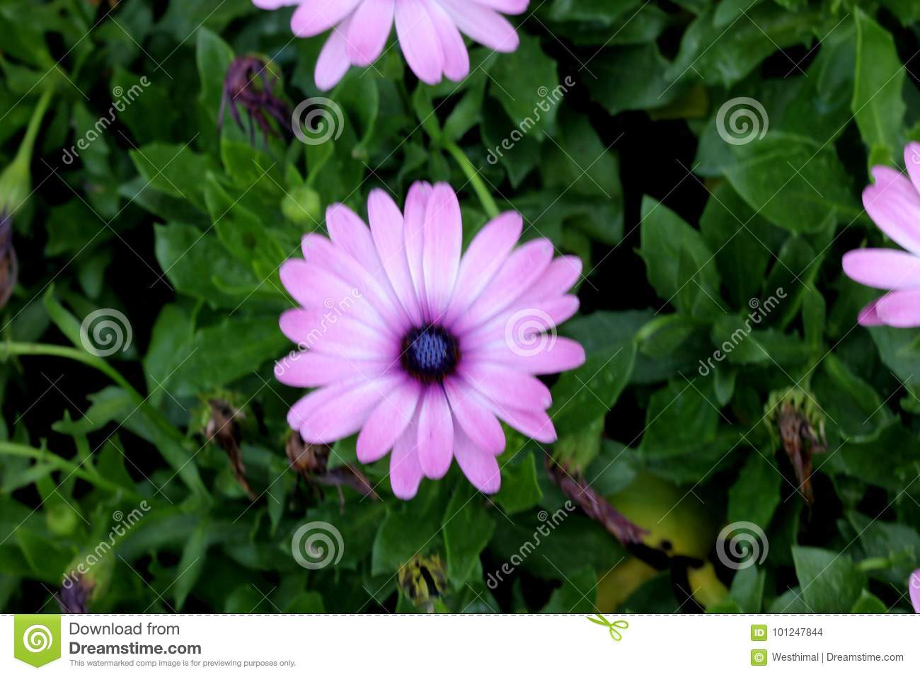 Osteospermum Ecklonis African Daisy Stock Photo Image Of Pointed