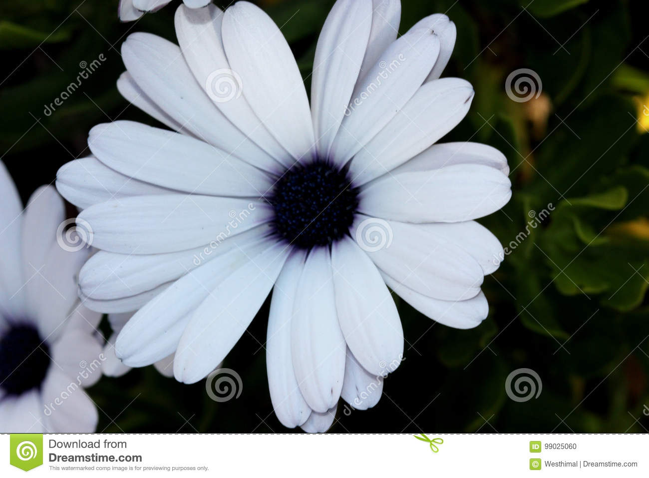Osteospermum Ecklonis Akila White Purple Eye Stock Photo Image