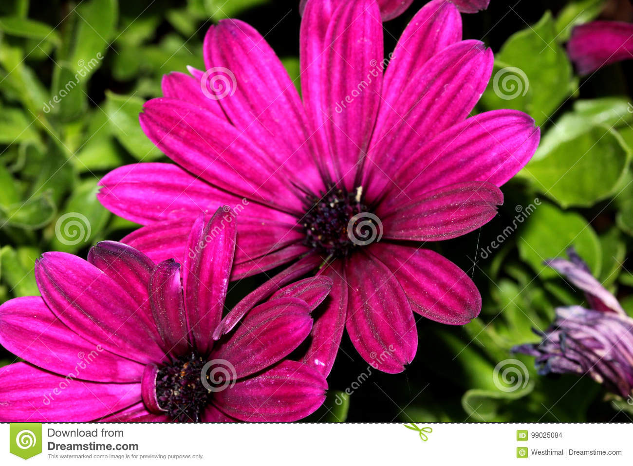 Osteospermum Ecklonis Asti Purple Stock Photo Image Of Rock
