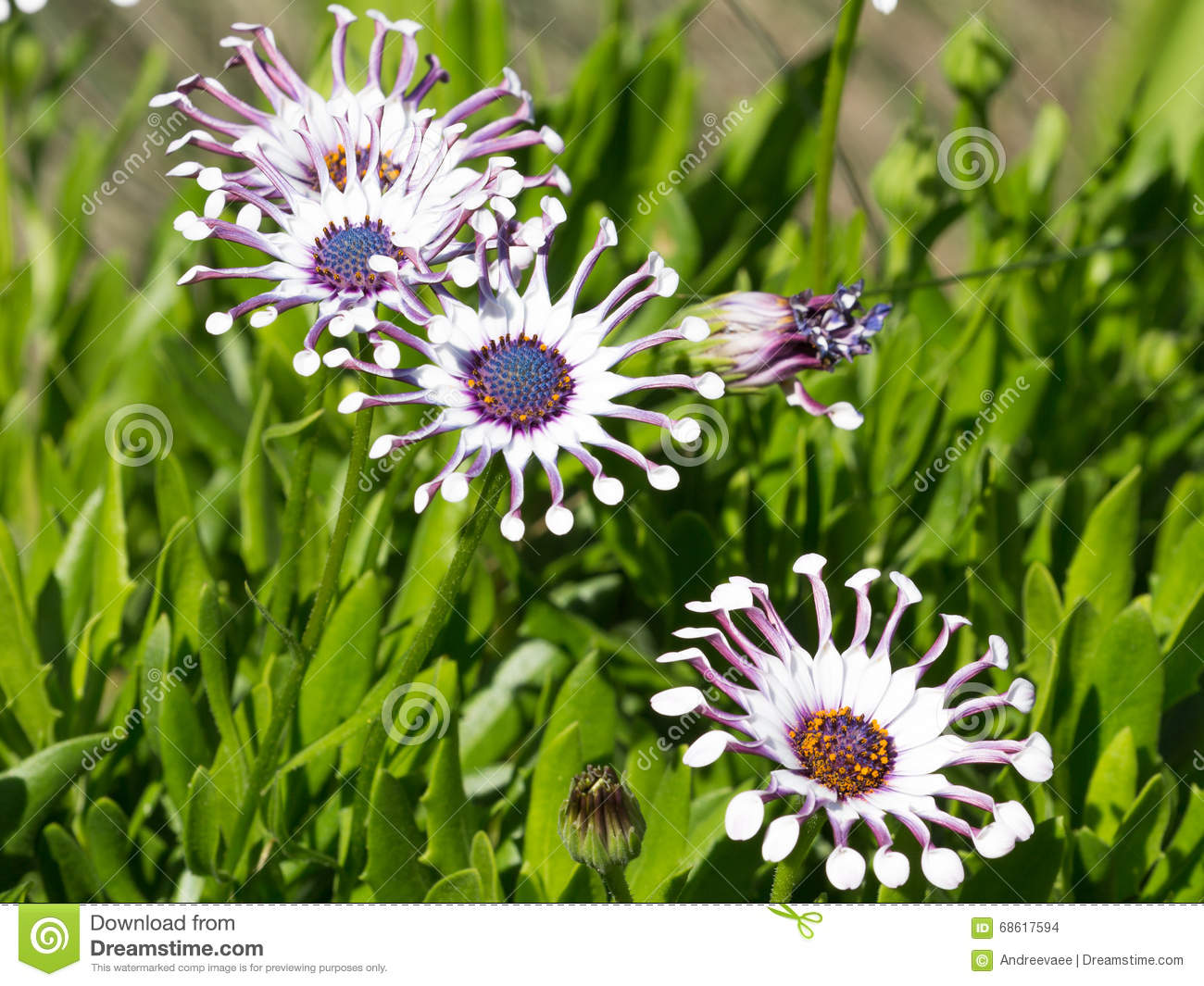 Osteospermum in the garden in summer stock photo image of flower beautiful bright purple pink white flowers with a blue center and unusual compressed petals hybrid variety osteospermum in the garden summer day mightylinksfo