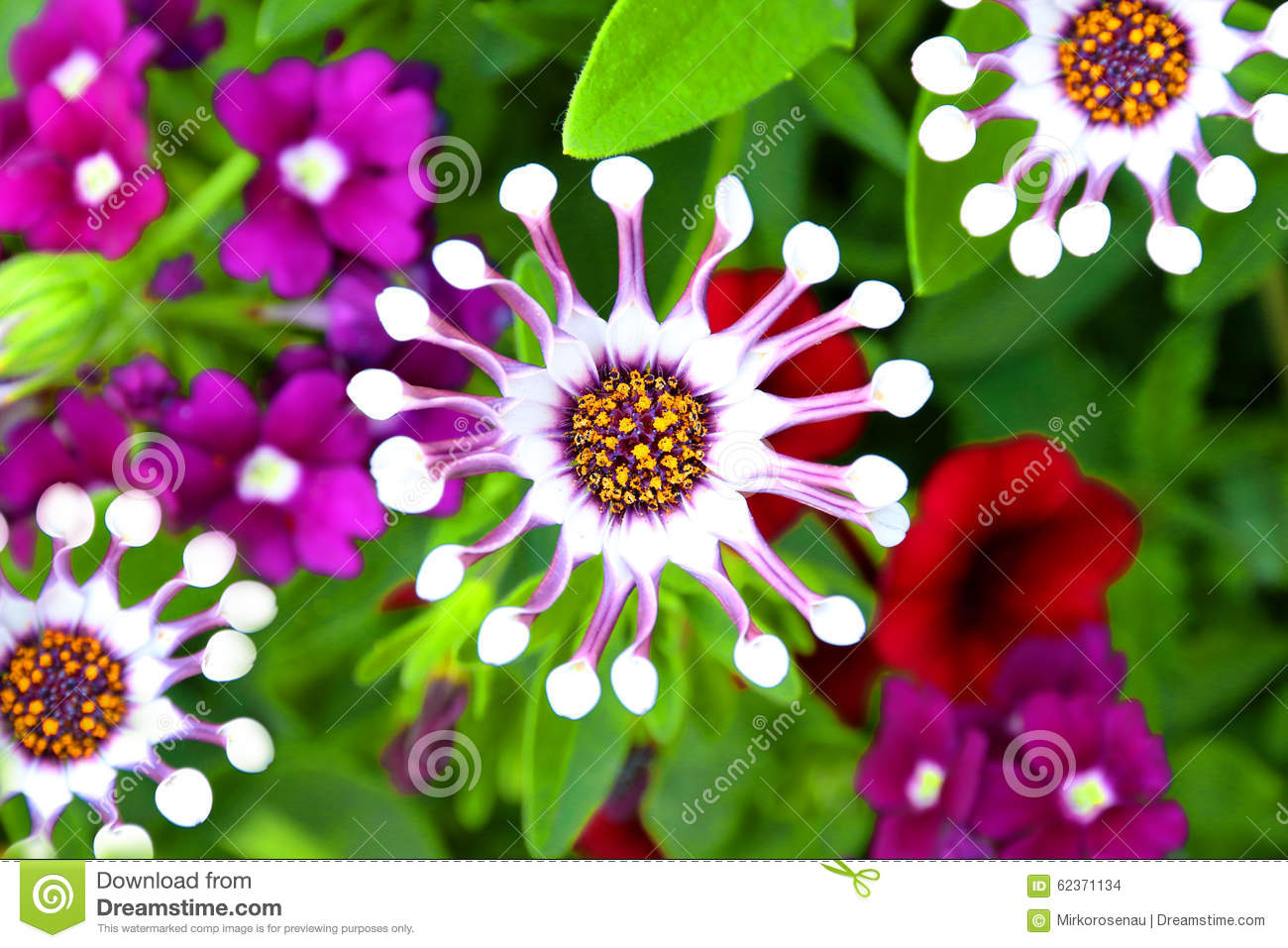 Osteospermum white spoon flower