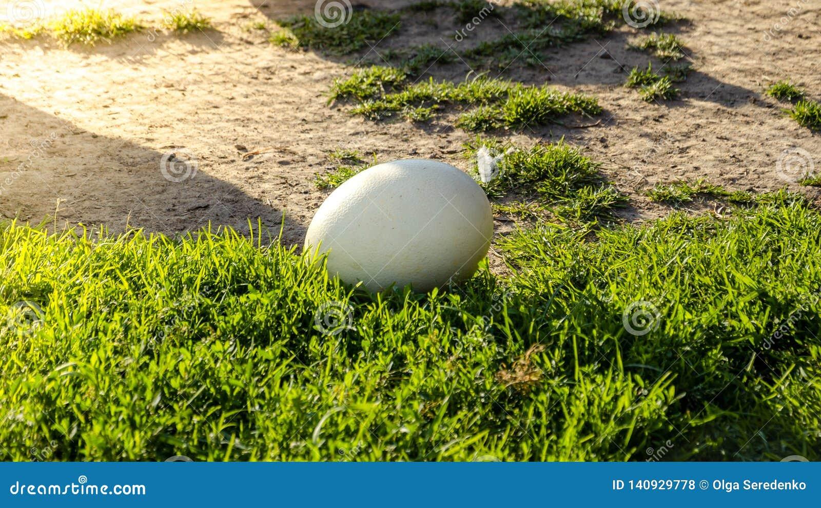 Ostern-Hintergrund - weiße Straußenei auf grünem Gras Geburt des neuen Lebenkonzeptes