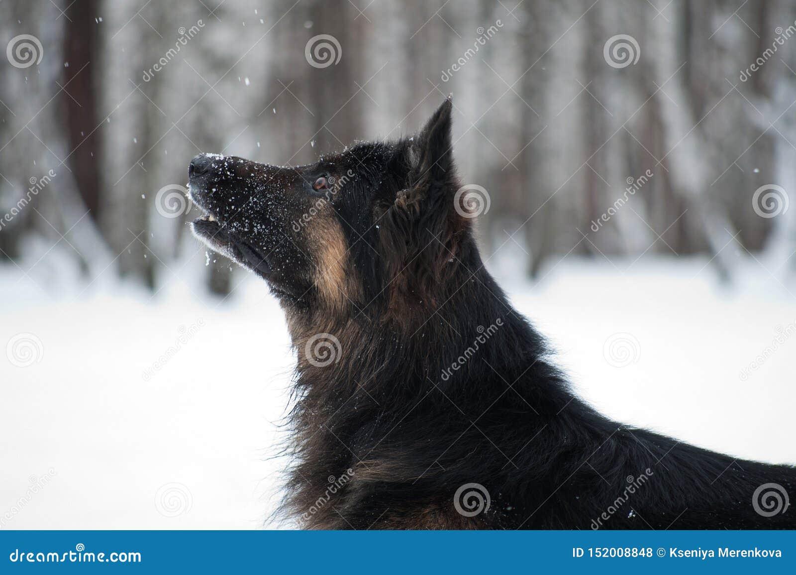 Osteuropäischer Schäfer, der im Schnee spielt