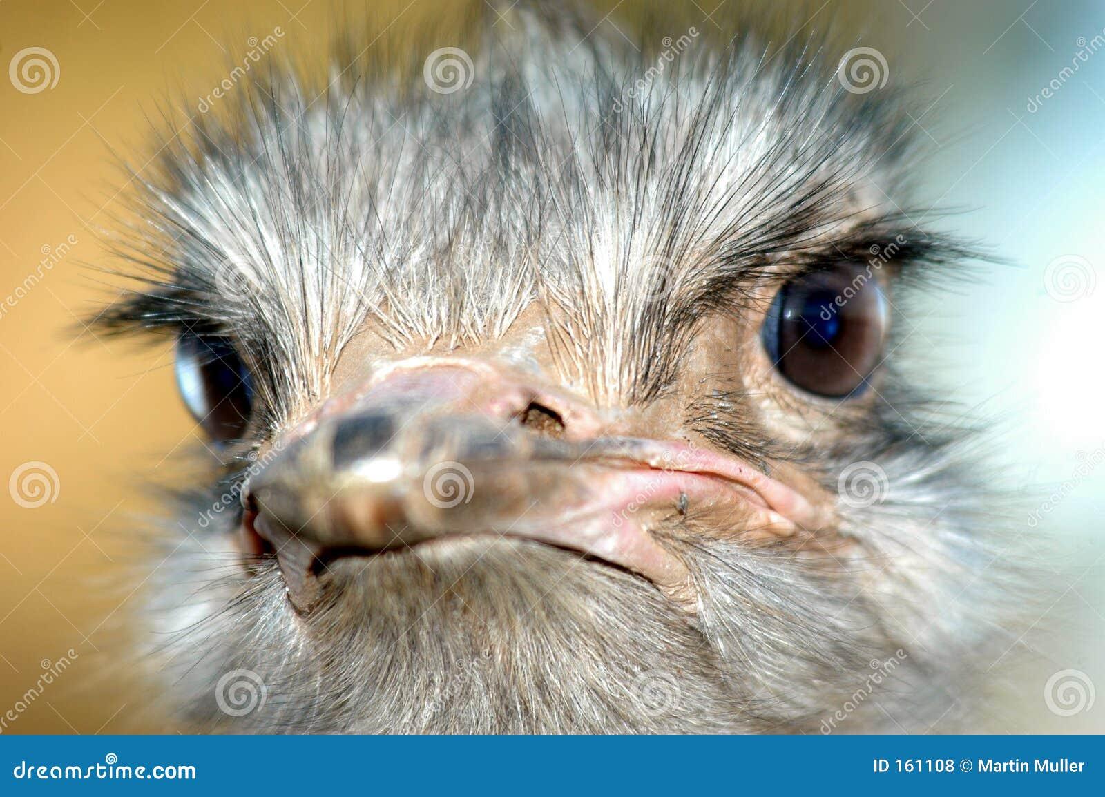 Ostrich 05