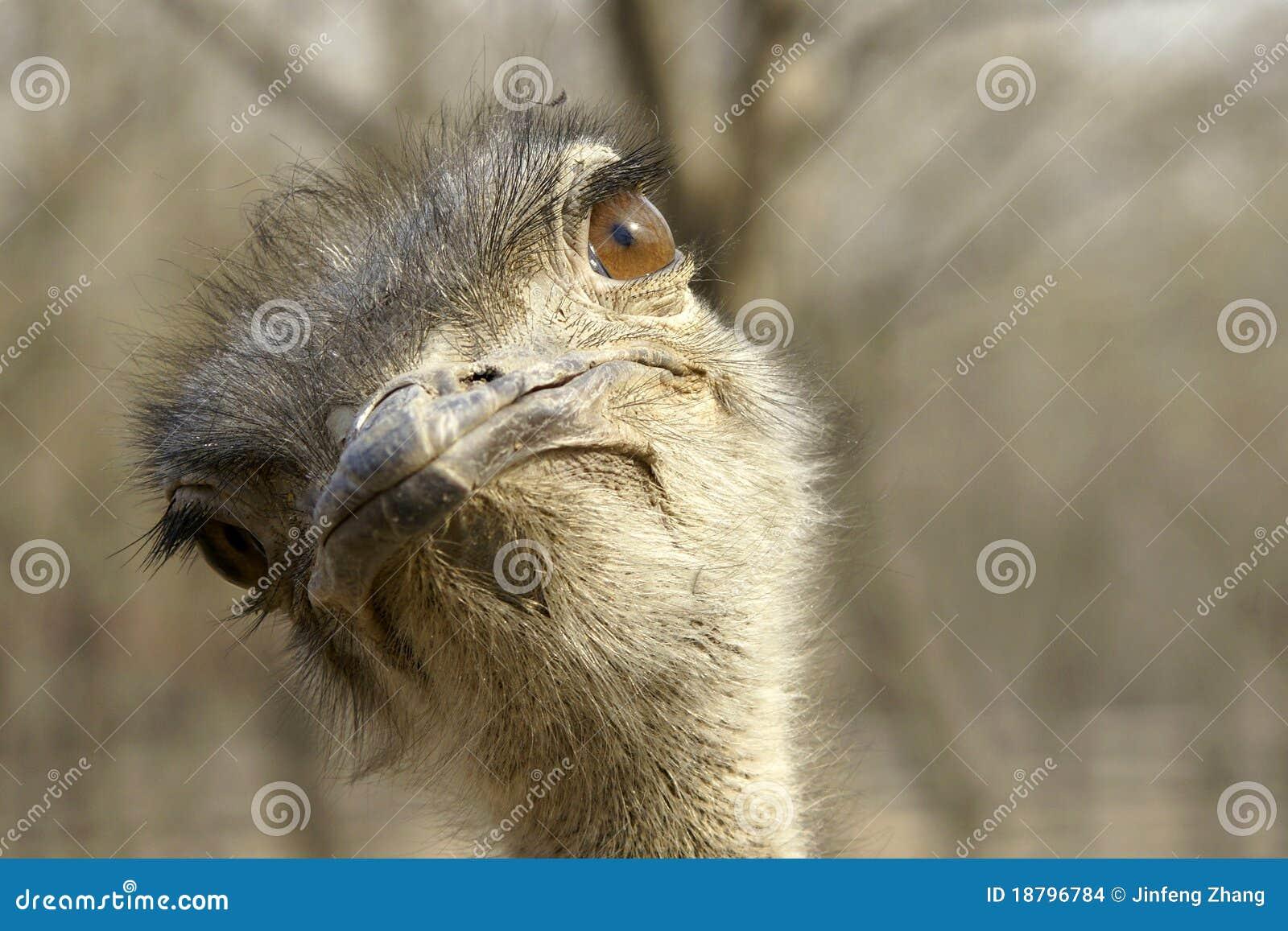 Download Ostrich stock photo. Image of nature, head, beak, macro - 18796784