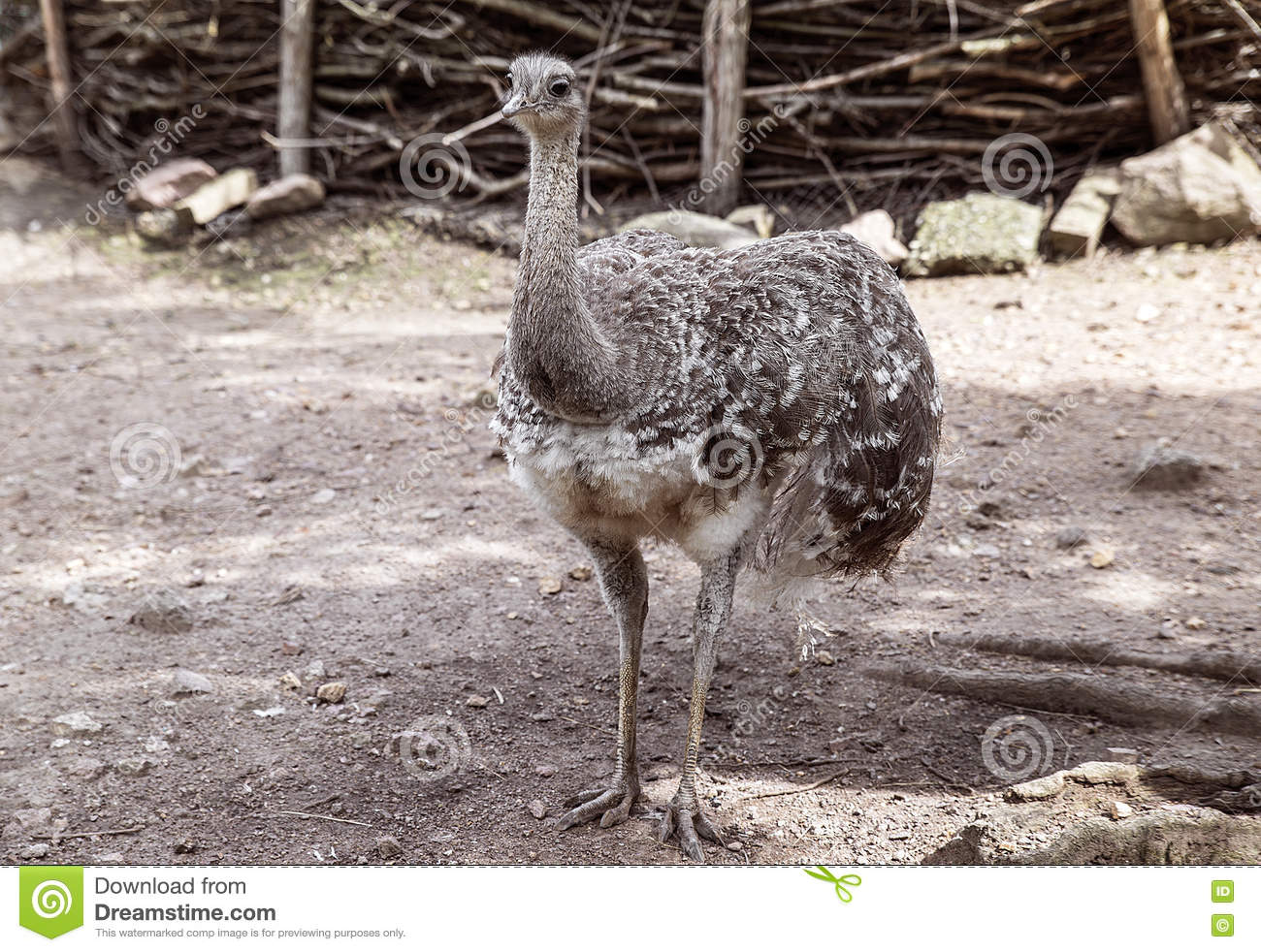 Ostrich bird with magnificent plumage gray