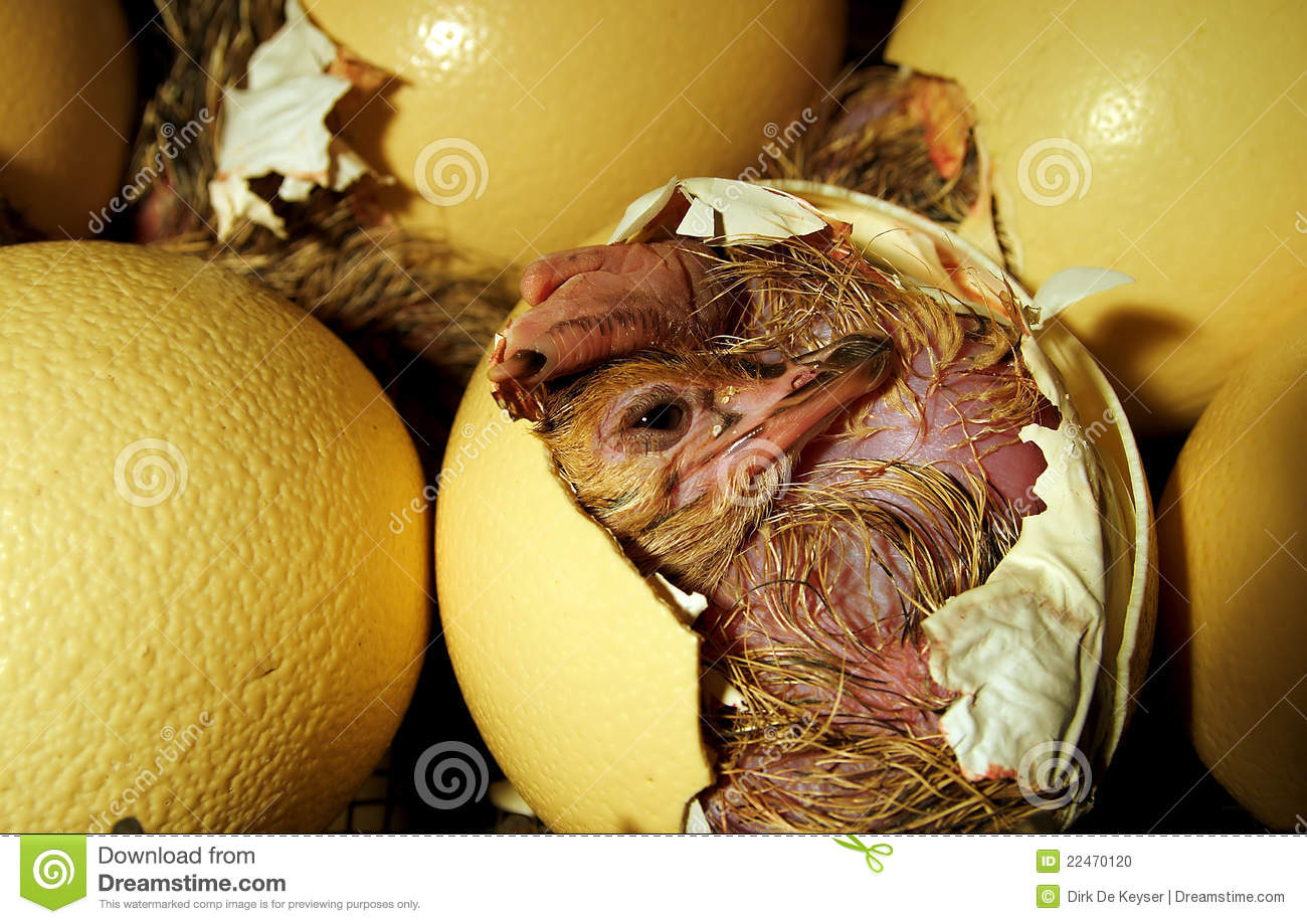 Ostrich Chick Coming Out Of The Egg Stock Photo Image