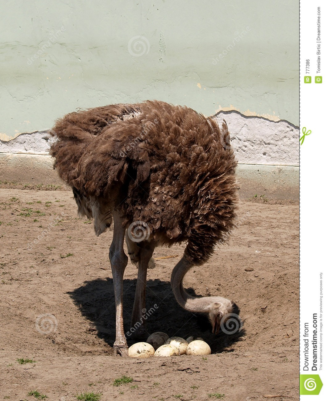 Ostrich Counts The Eggs