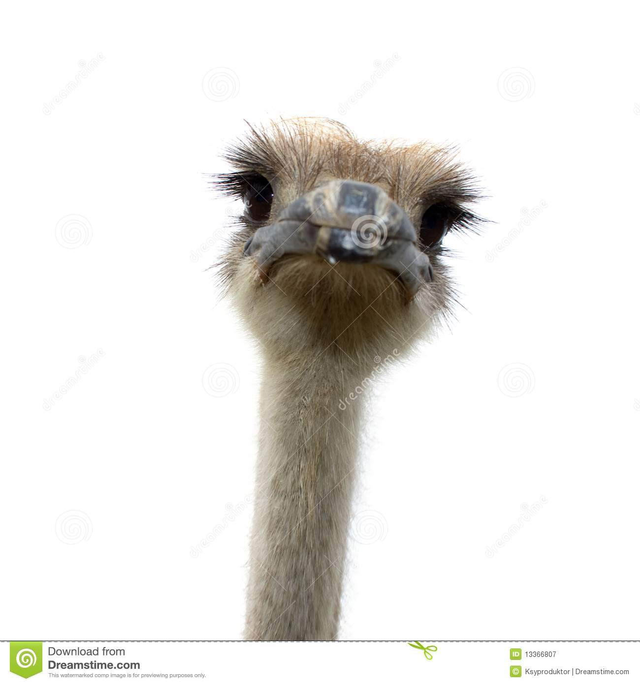 Ostrich Isolated On White Background Royalty Free Stock Photography ...