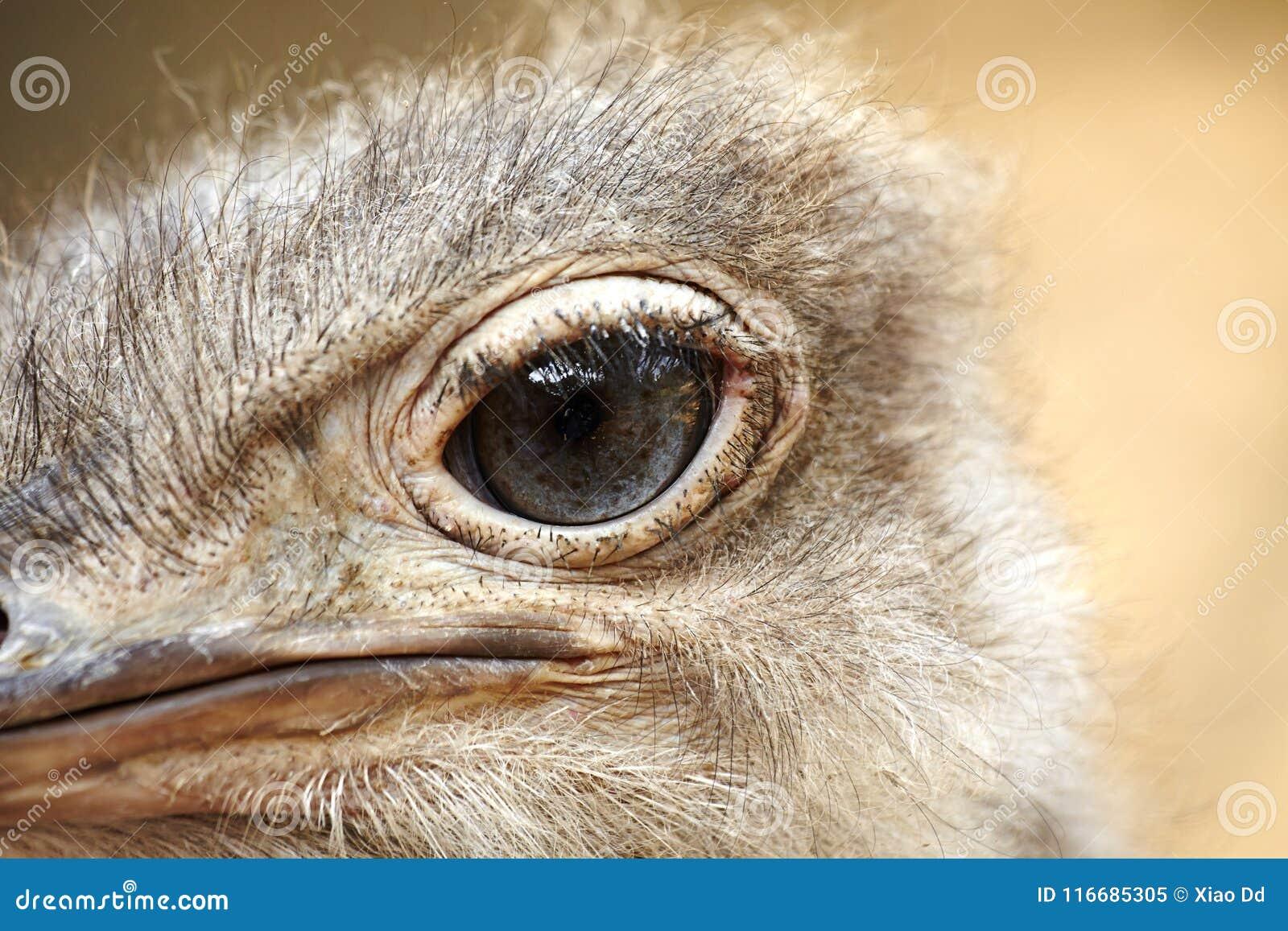 Ostrich`s eye, close-up