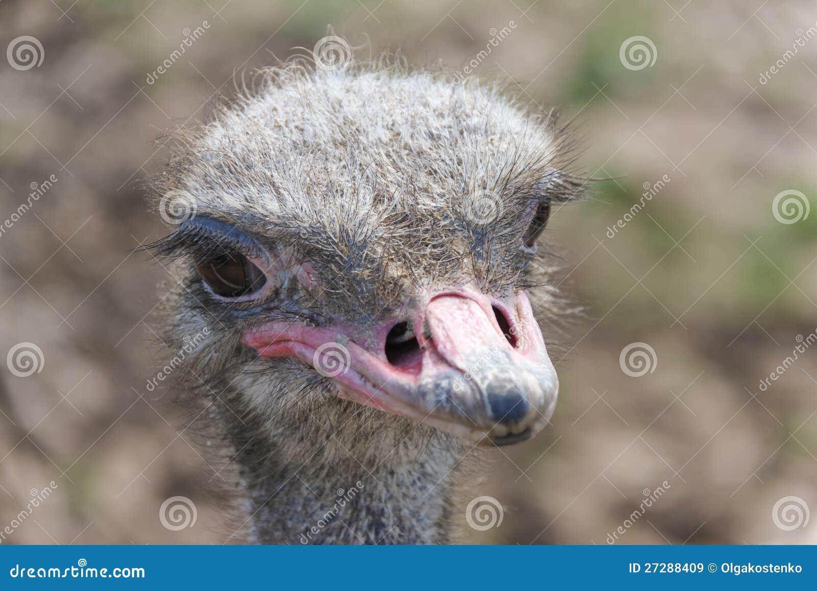 Ostrichhuvud