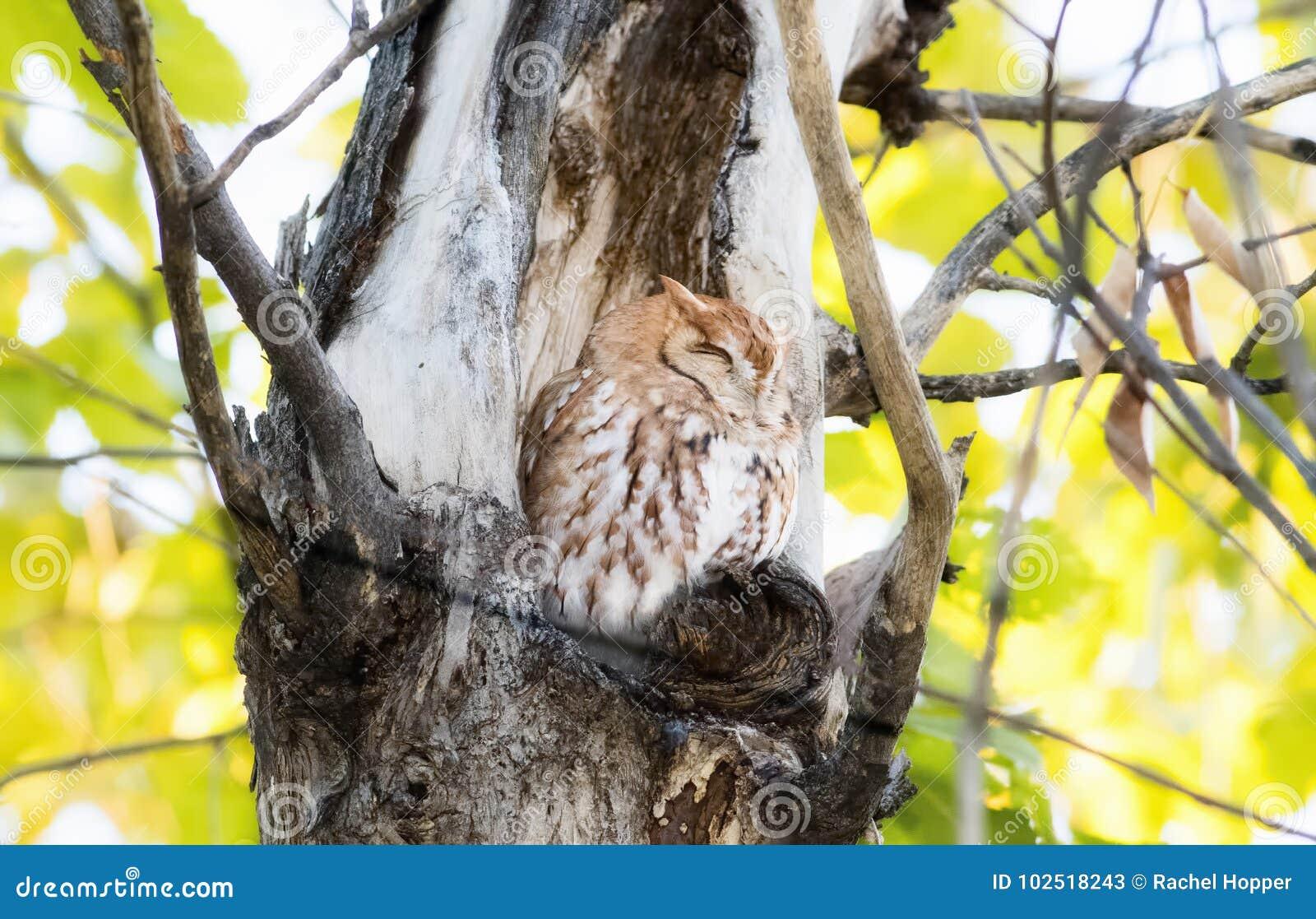 Ostrot verwandeln Schrei-Eule Megascops-Asio in Ash Tree