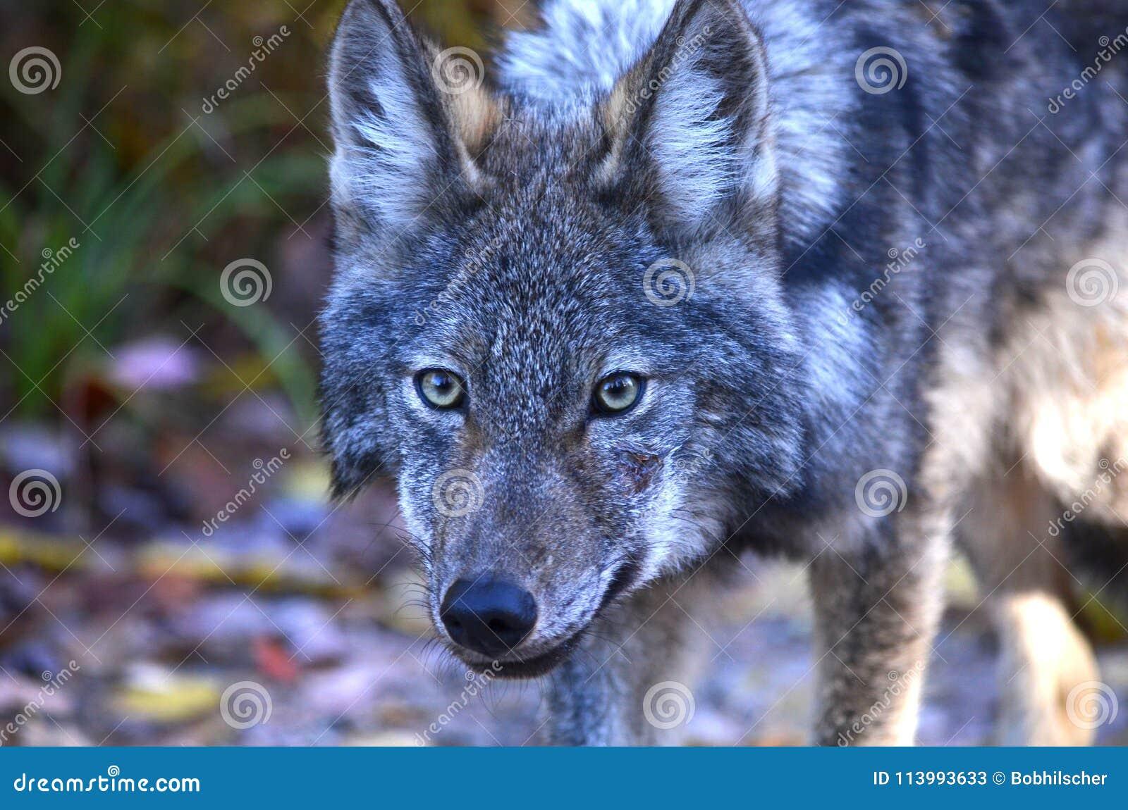 Ostwolf