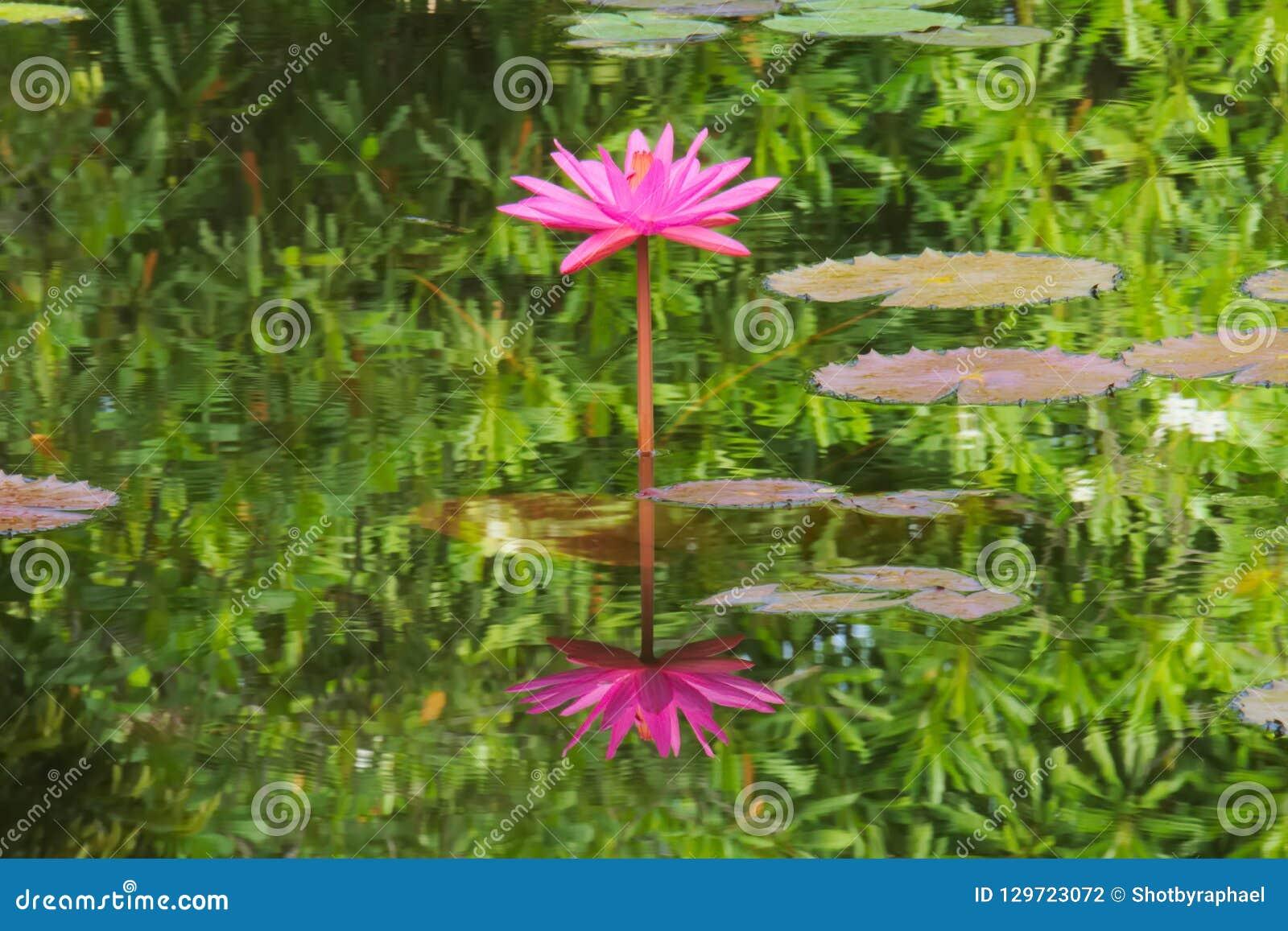 Oszałamiająco i lotos, prosto symetryczny, różowy, w pełnym kwiacie i swój doskonalić odbiciu w wielkim stawie,