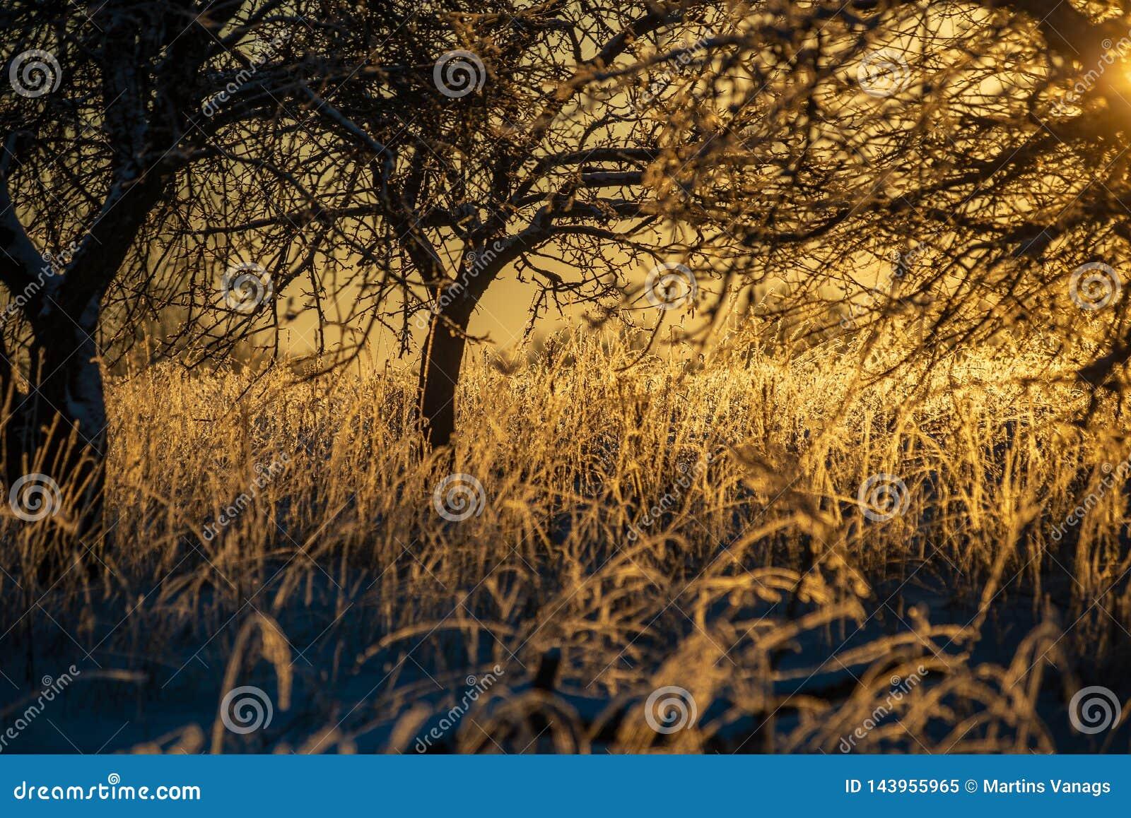 Oszronieje zakrywających trawy i brzozy gałąź liście w pogodnym zima ranku świetle