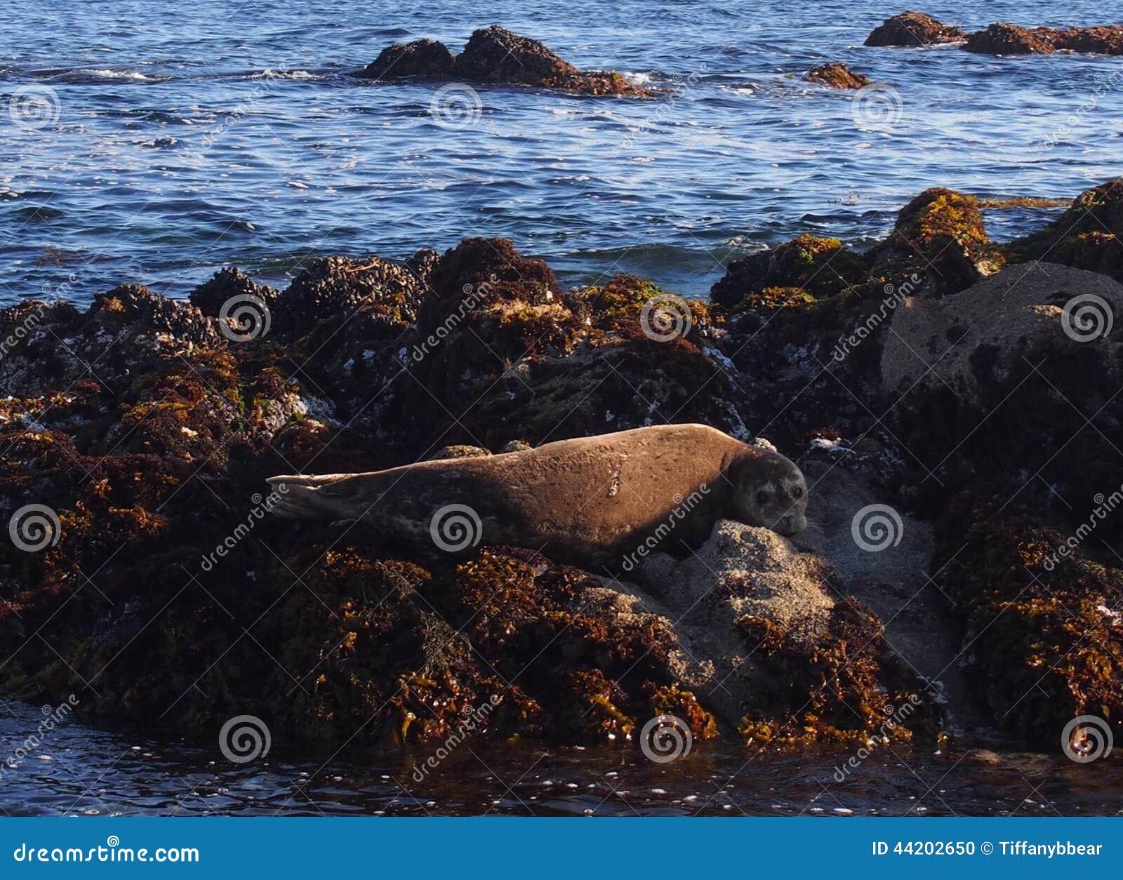 Otarie dans Monterey