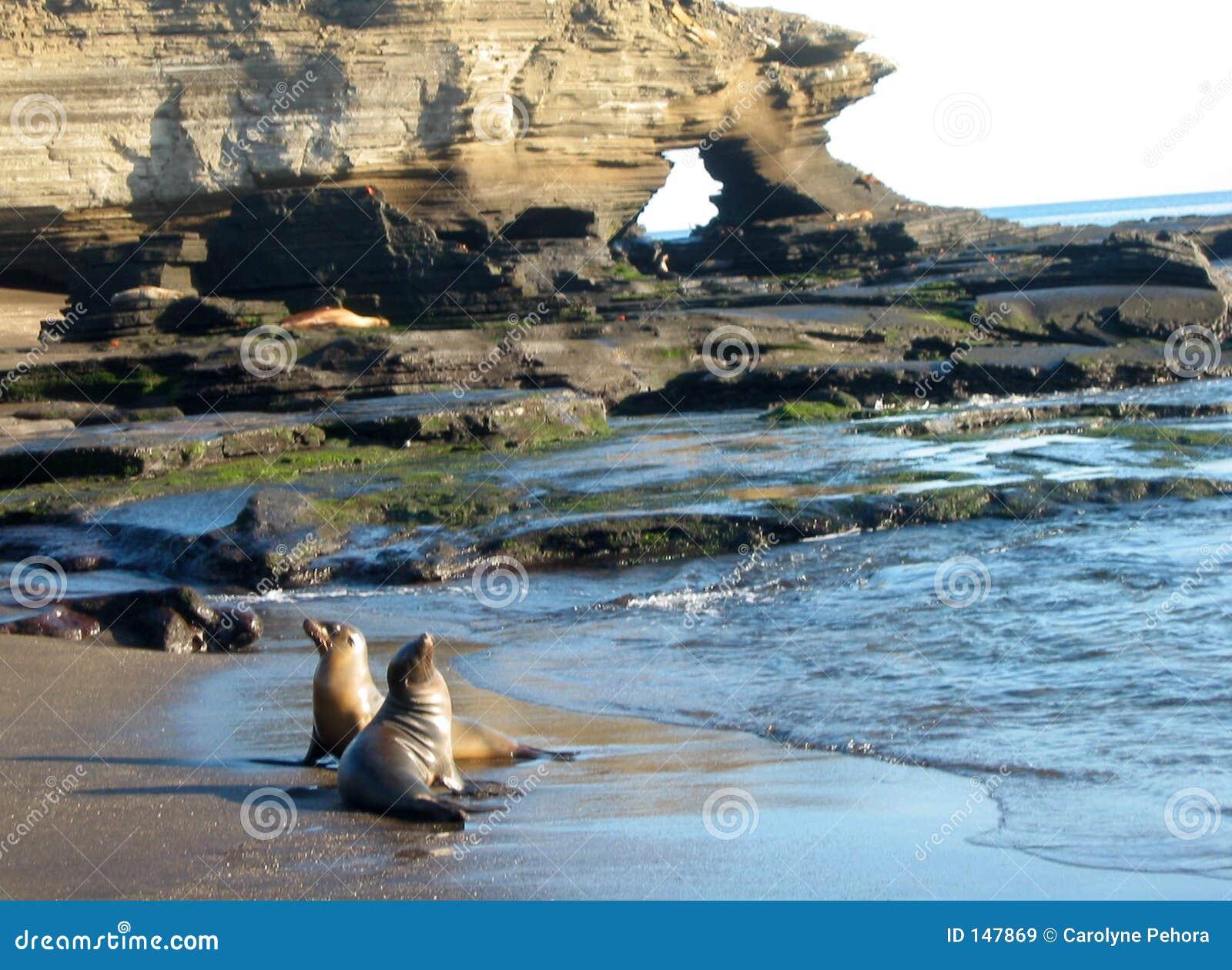 Otarie del Galapagos
