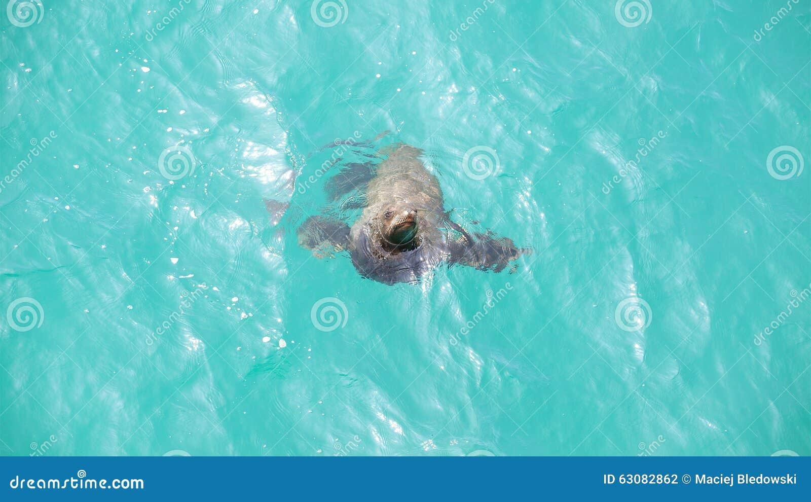 Download Otarie jouant dans l'eau photo stock. Image du mammifère - 63082862