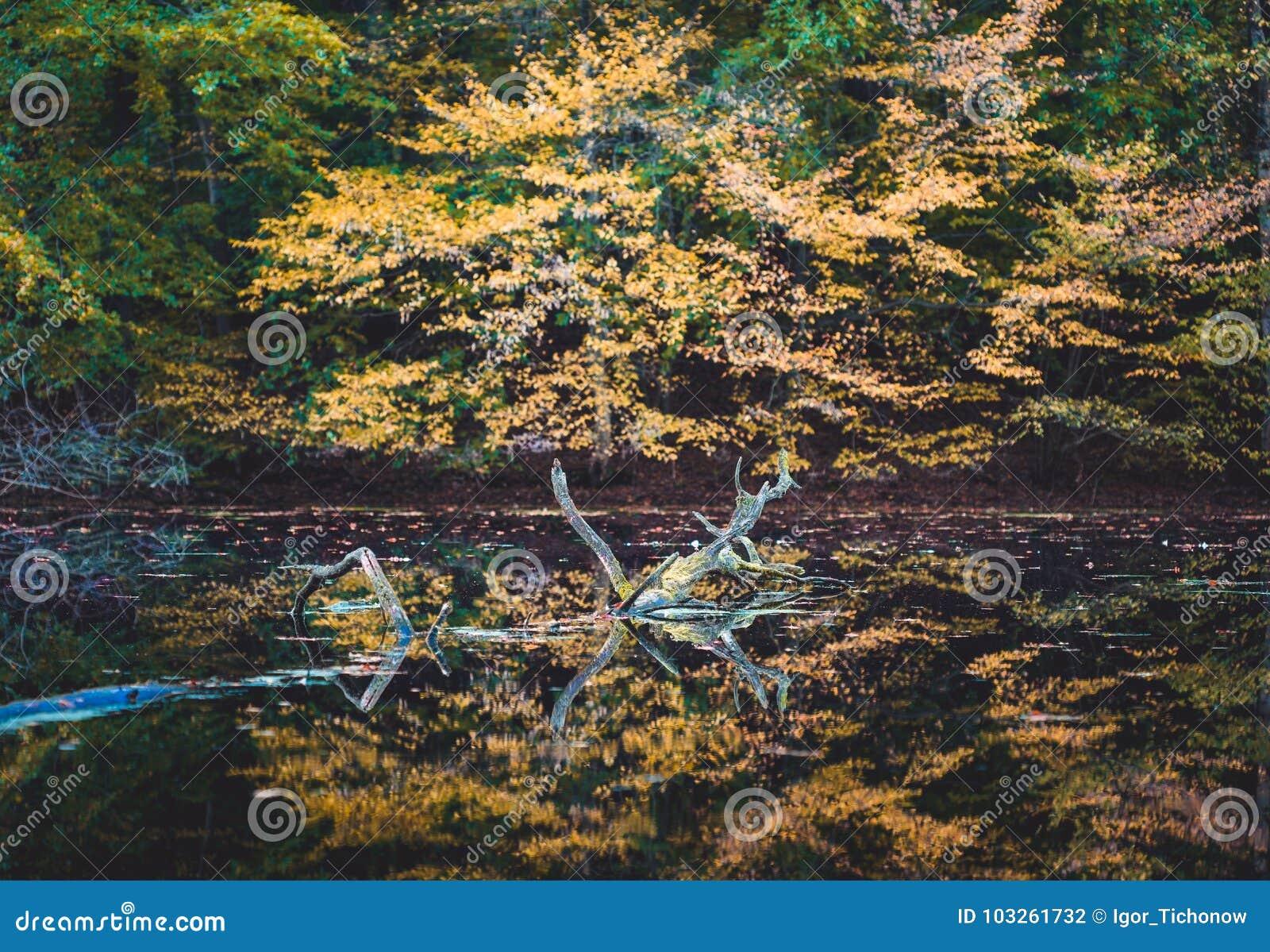Otoño de oro Amarillee los árboles coloreados reflejados en una pequeña charca