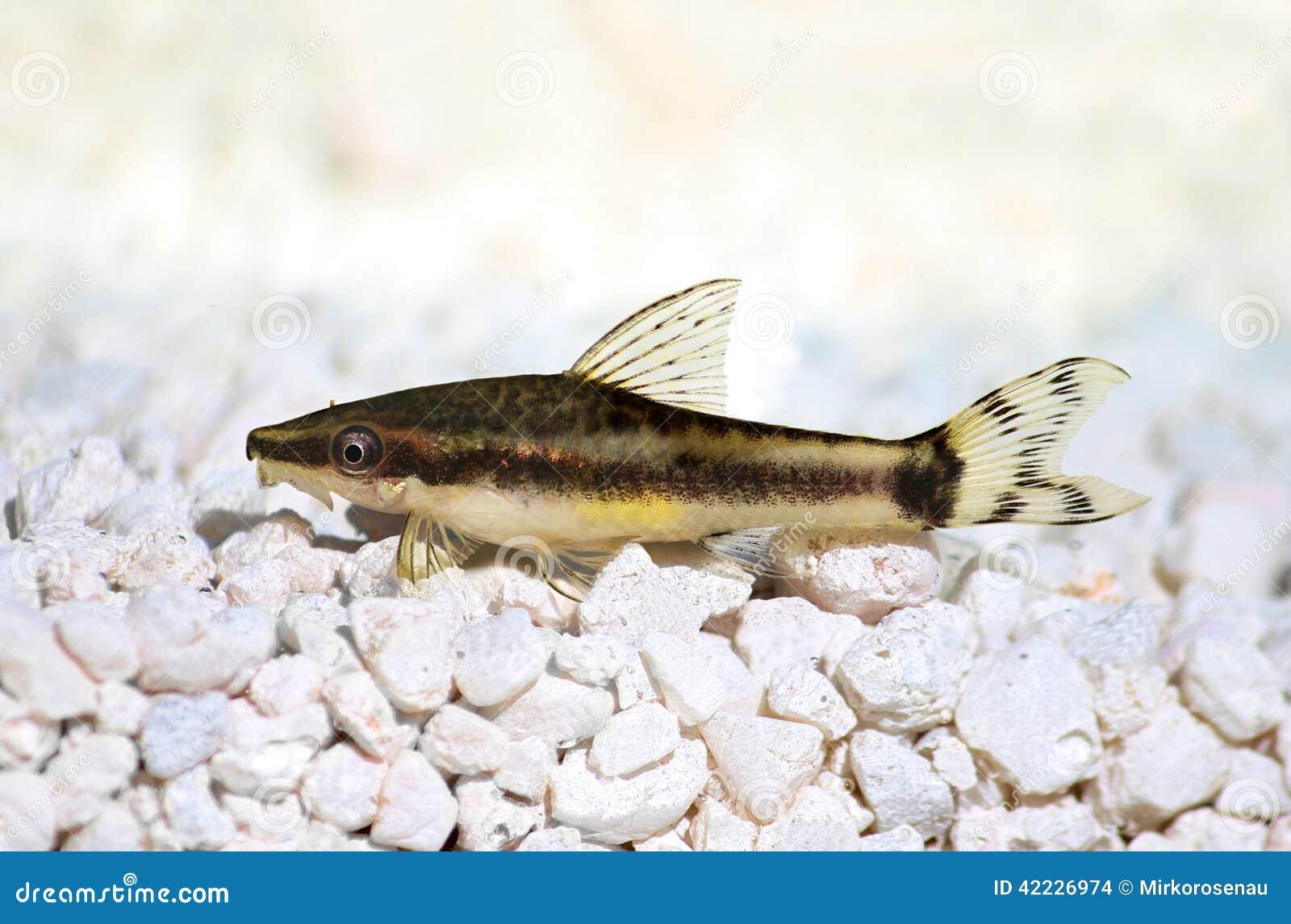 Oto Dwarf Suckermouth Otocinclus Vittatus Algae Eater Catfish Stock ...