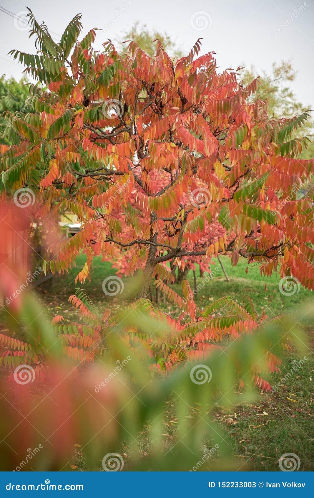 Oto?o ?rbol hermoso con las hojas rojas