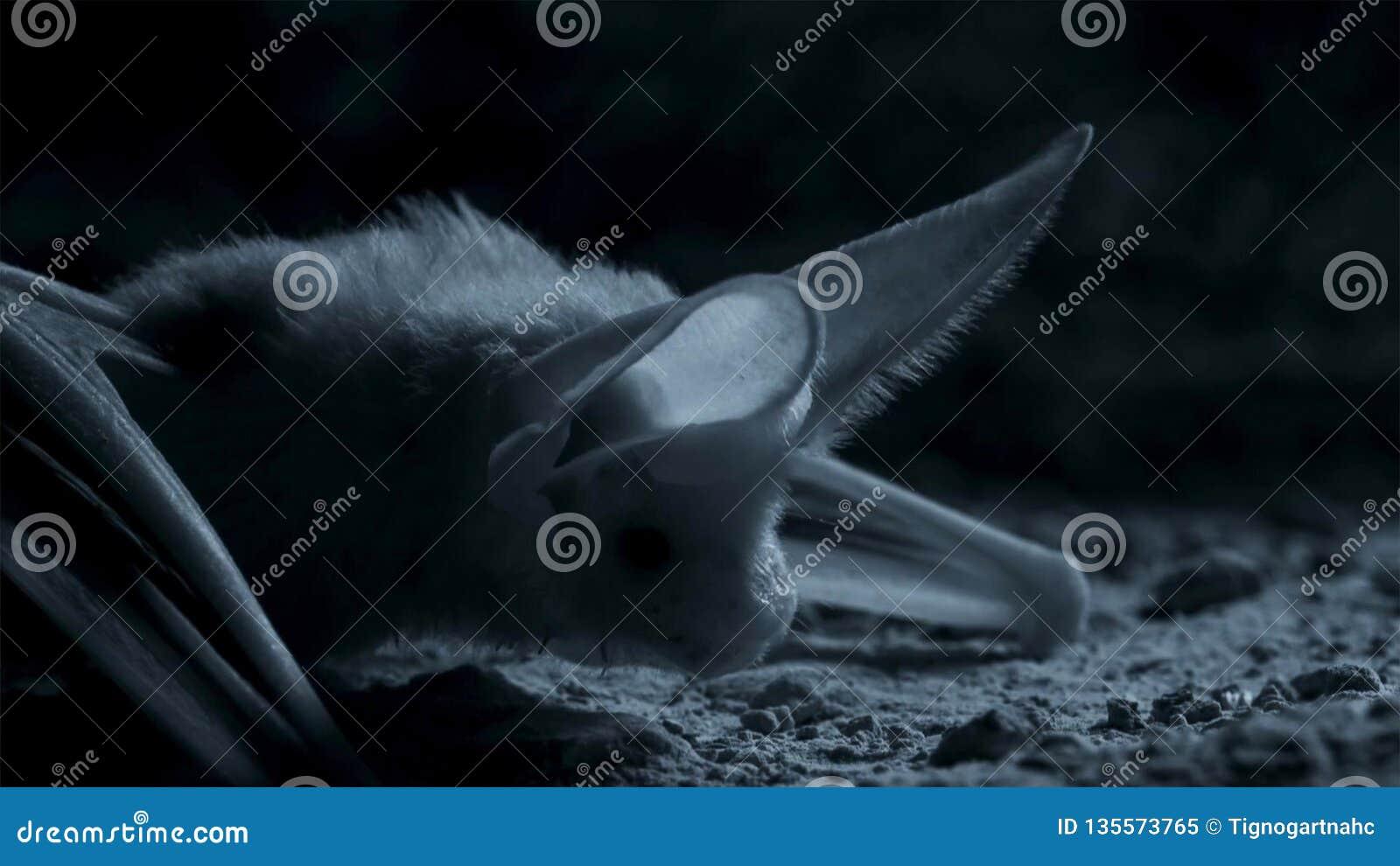 Otonycteris pustynny długouchy nietoperz, jest na polowaniu w ciemności, Izrael pustynia negew
