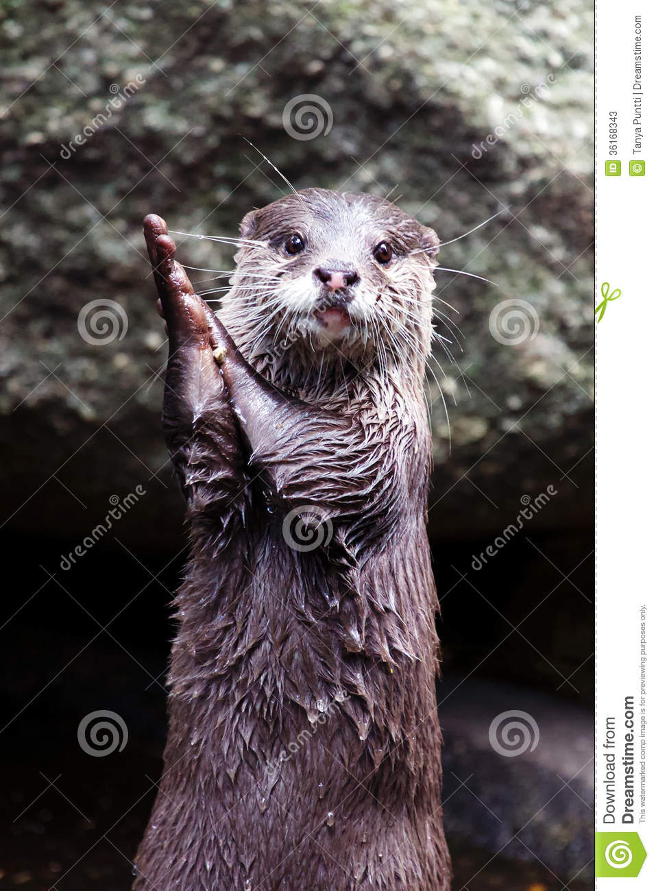 Otter Clapping Hands Stock Image Image Of Whiskers Standing 36168343