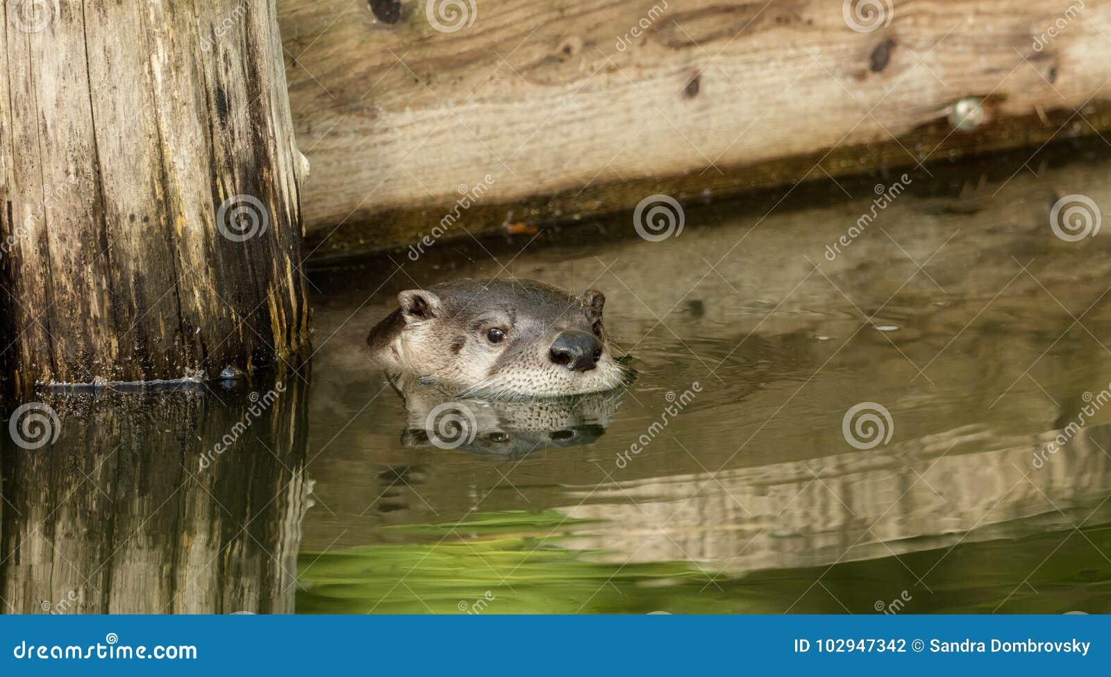 Otter in de vijver