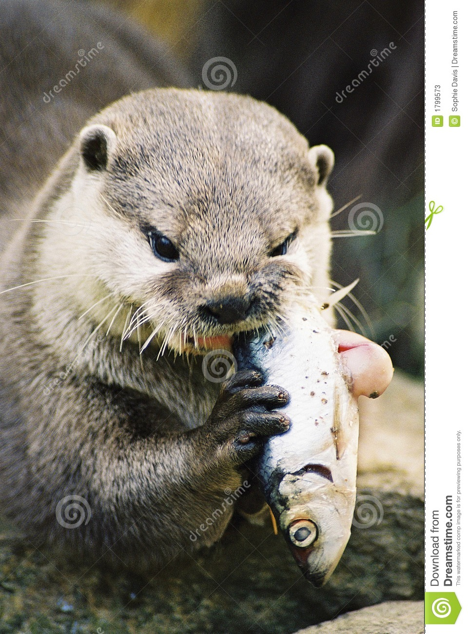 Otter eating a fish stock image image of holding brown for Dreaming of eating fish