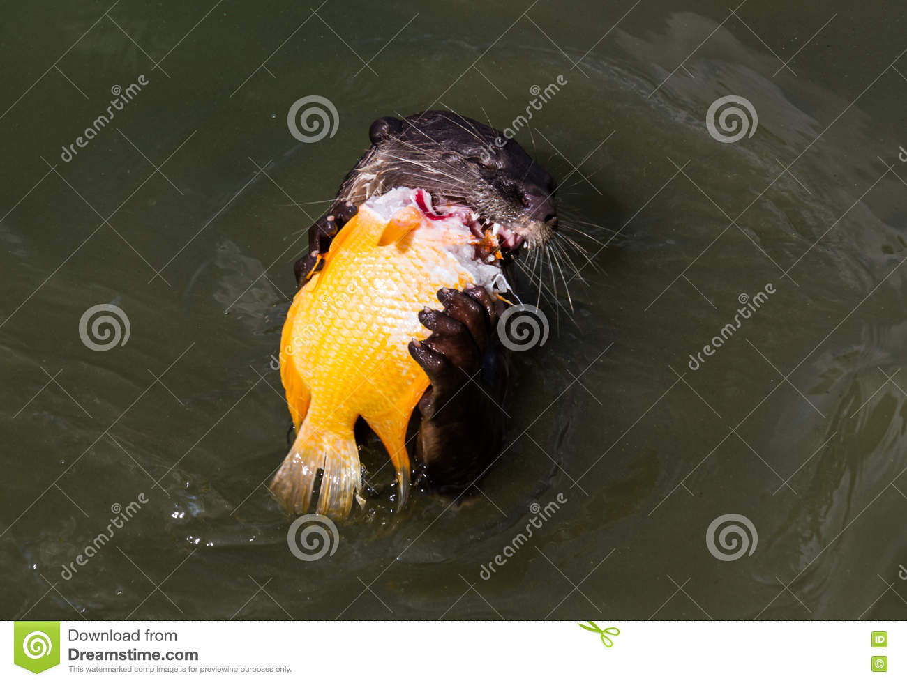 Otter eating fish stock photo image of eating endangered for Dreaming of eating fish