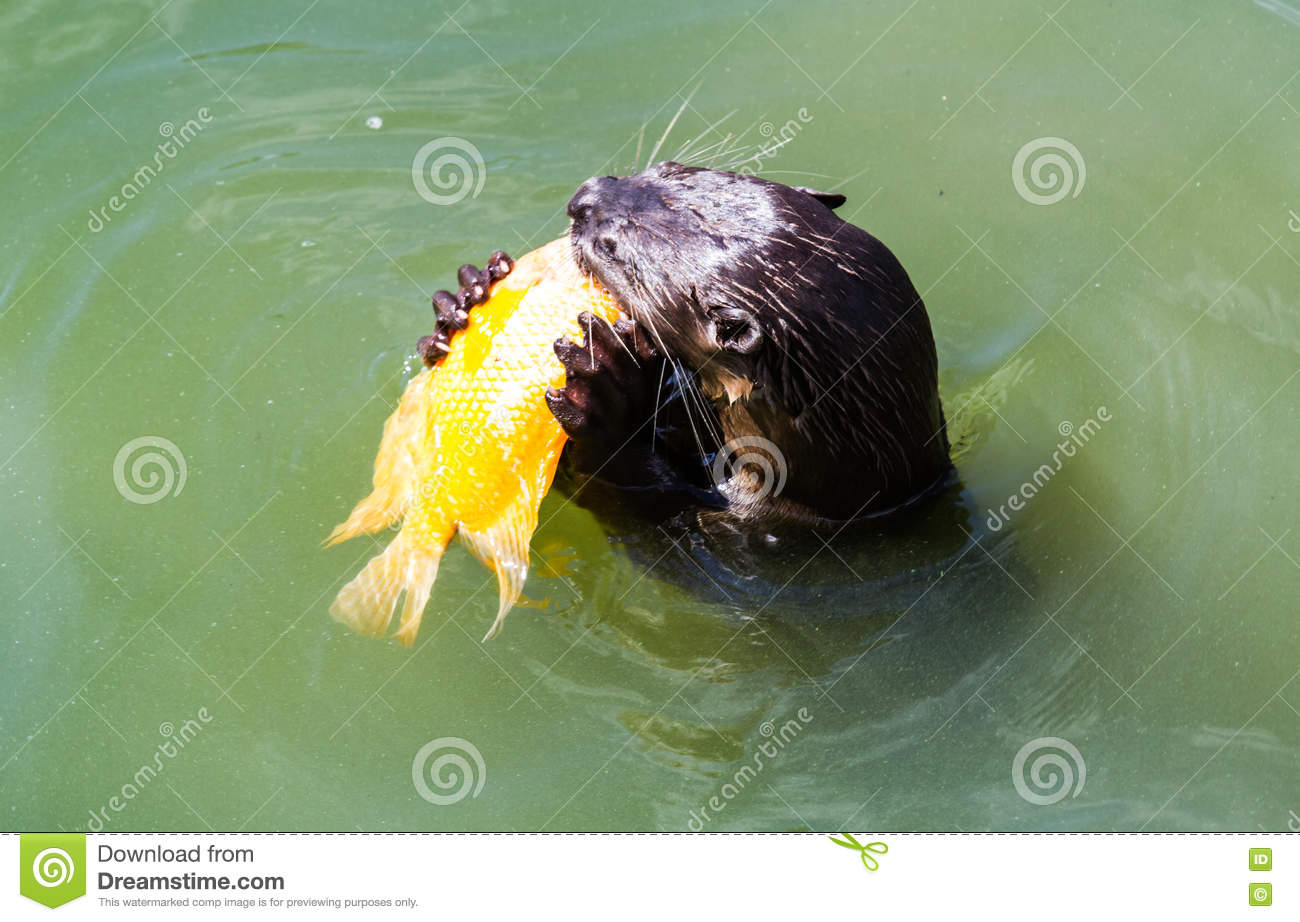 Eating otter stock photo 56574900 for Dreaming of eating fish